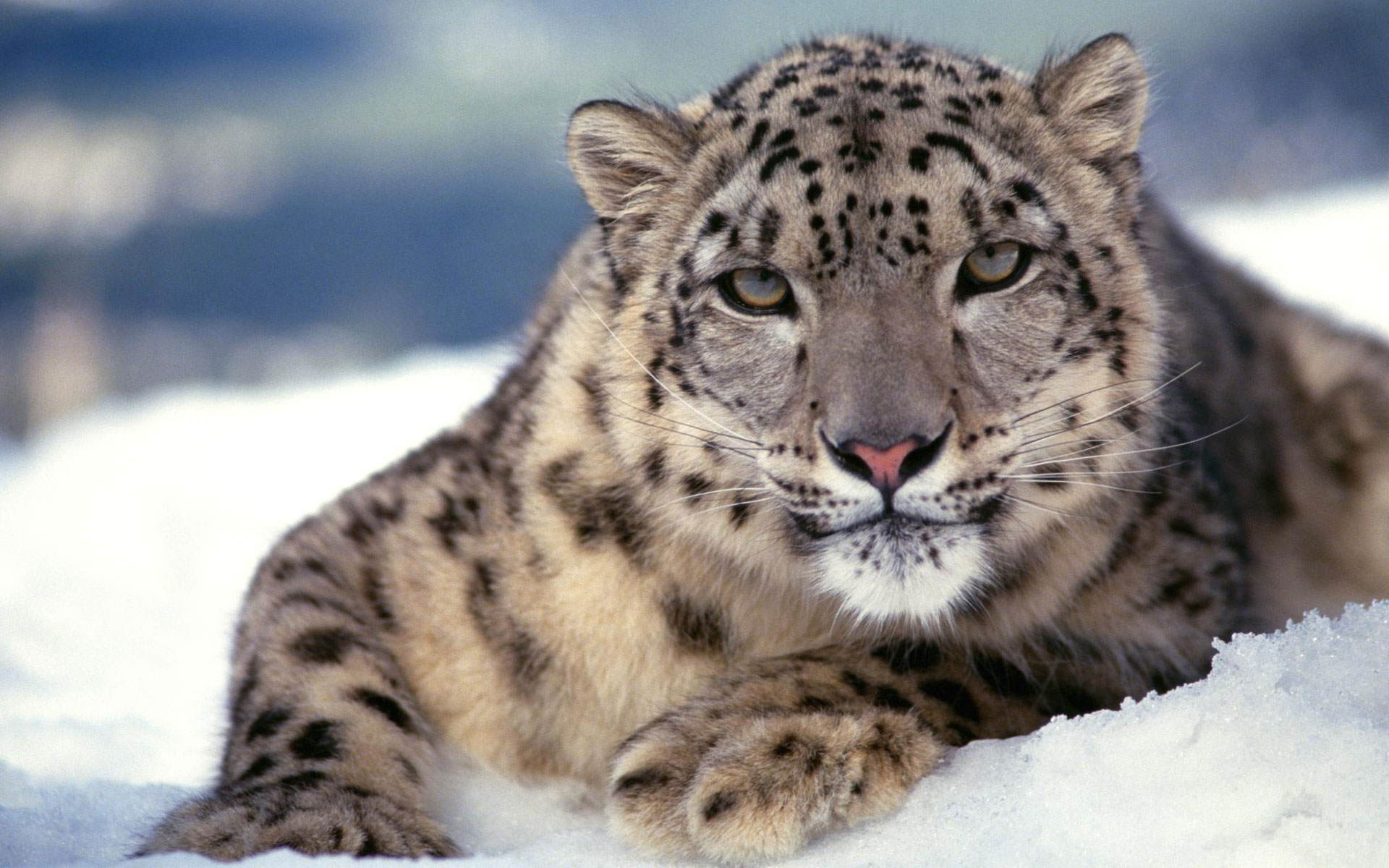 Scary Snow Leopard 970.48 Kb