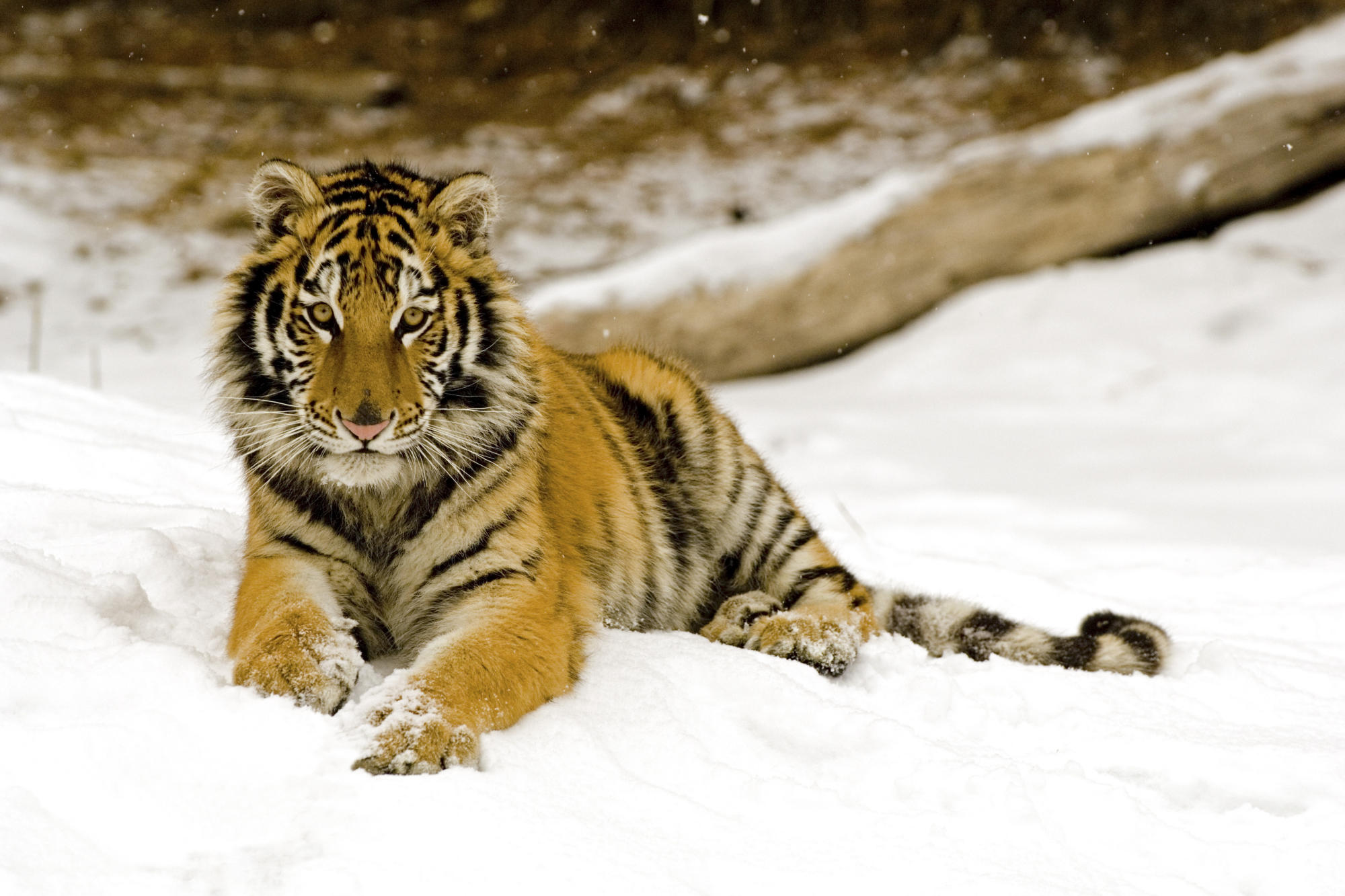 Snowy Afternoon Tiger 333.66 Kb