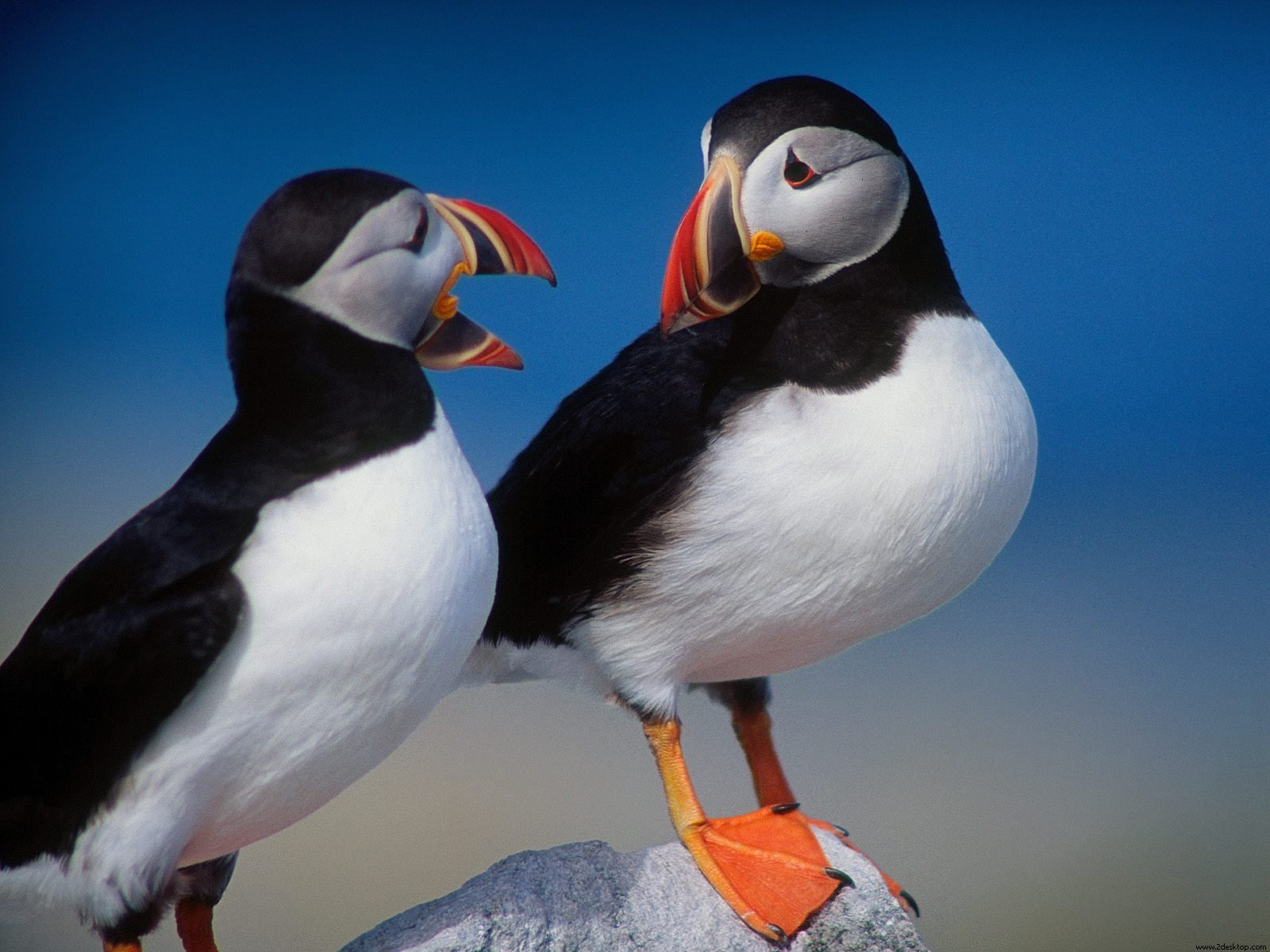 A Pair of Puffins 192.47 Kb