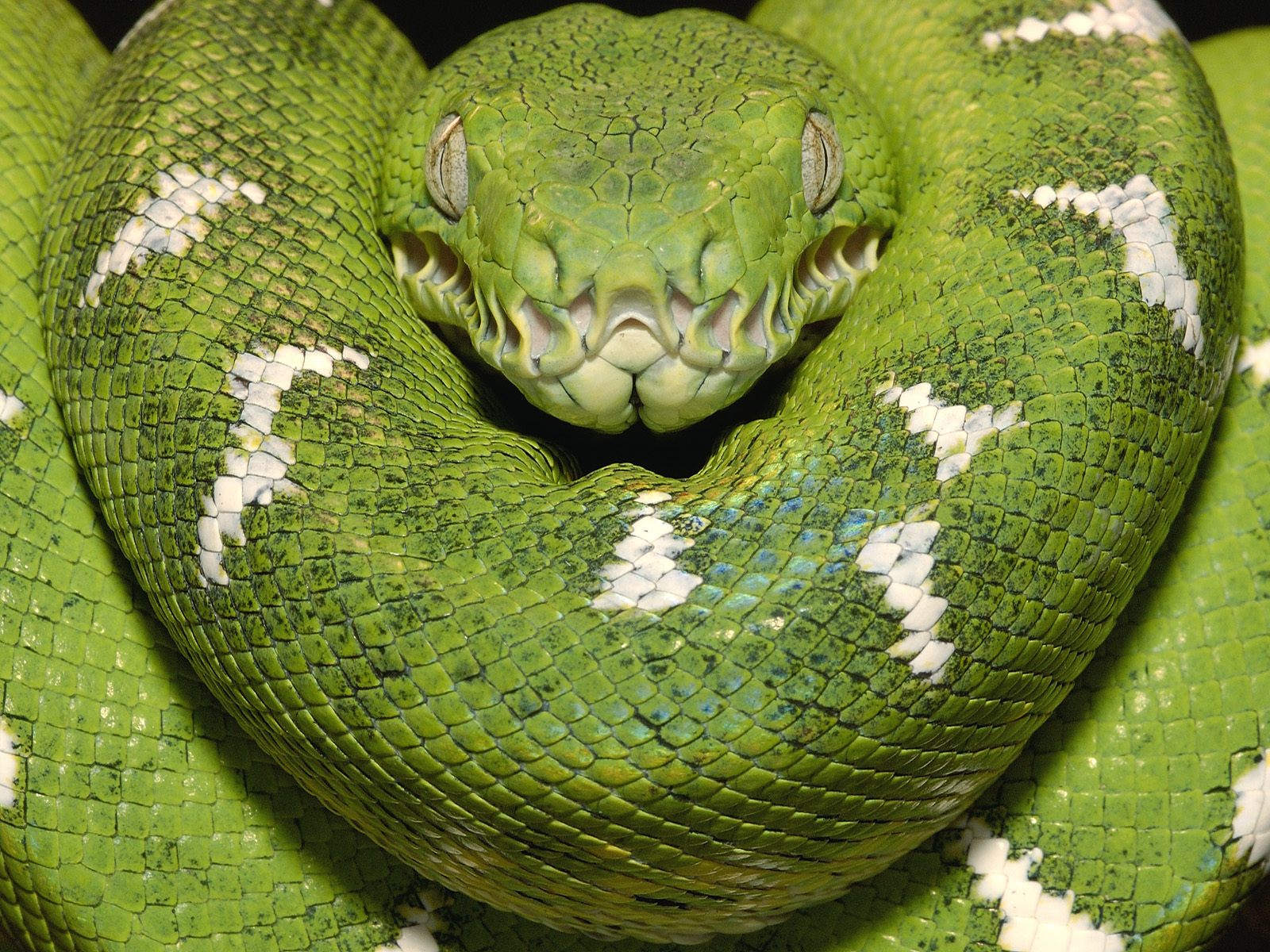Emerald Tree Boa Amazon Equador