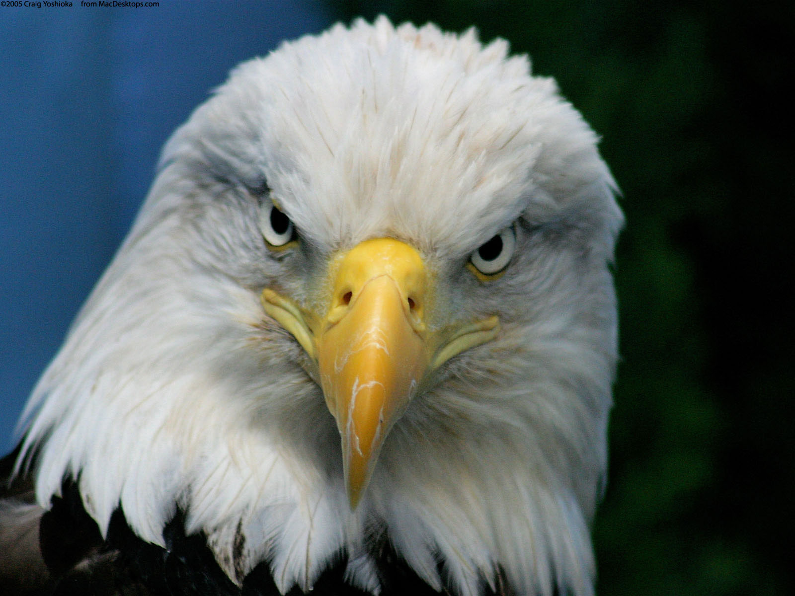 Bald Eagle 312.19 Kb