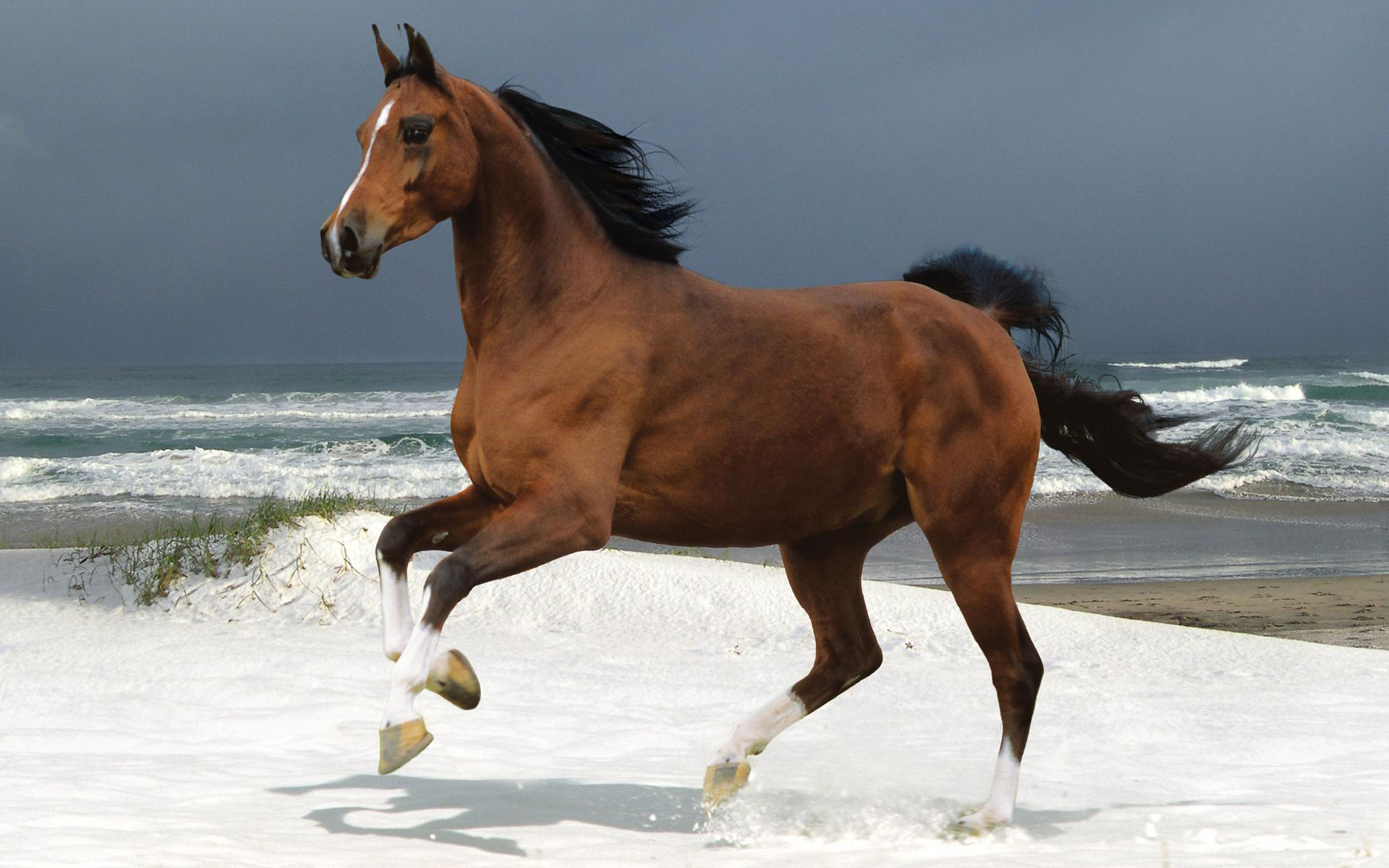 Norwegian Beach Warmblood