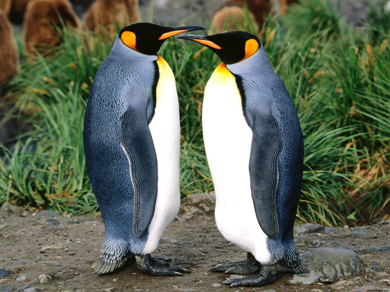 King Penguins 461.33 Kb