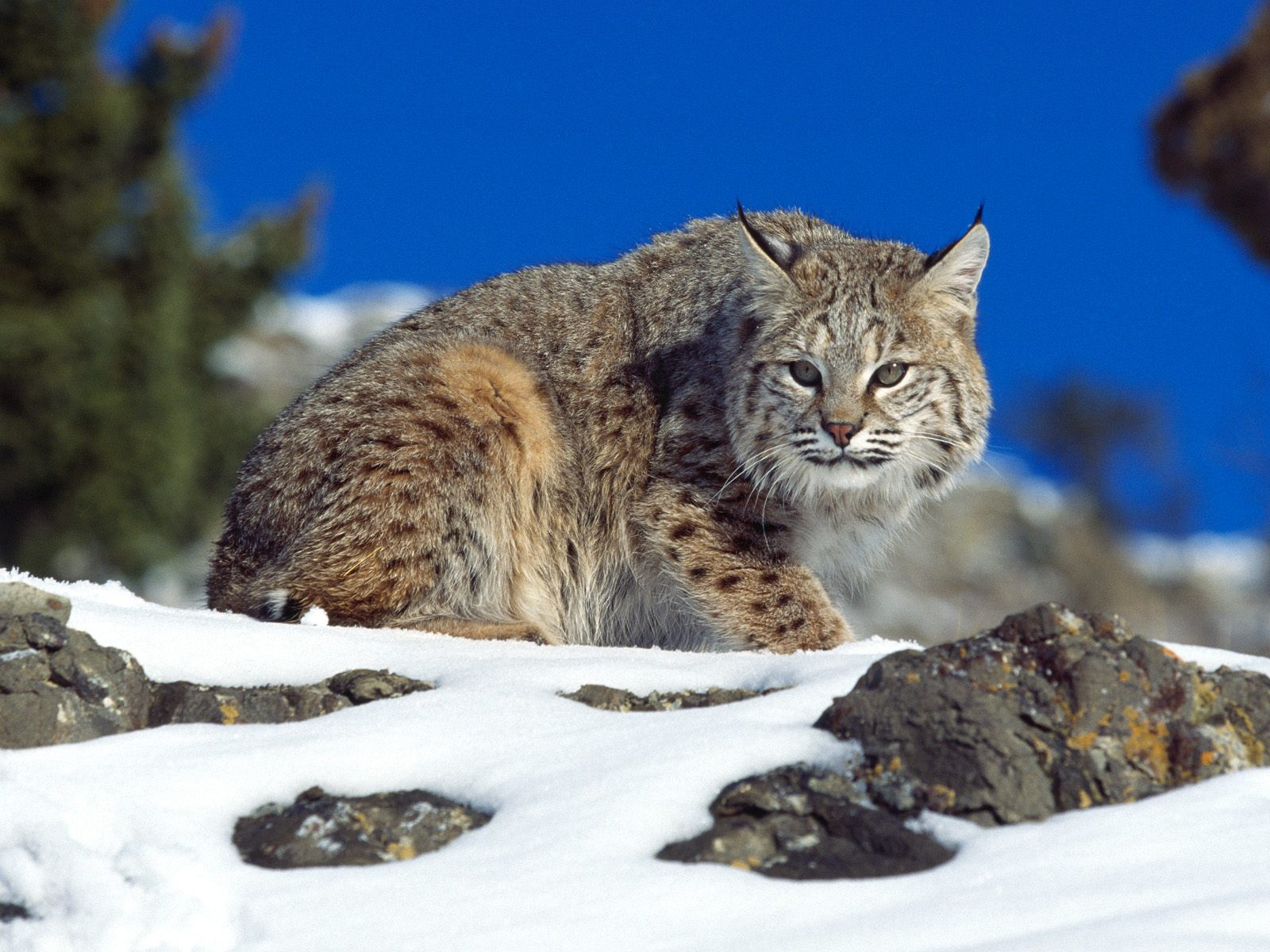 Cold Stare Bobcat 1405.81 Kb