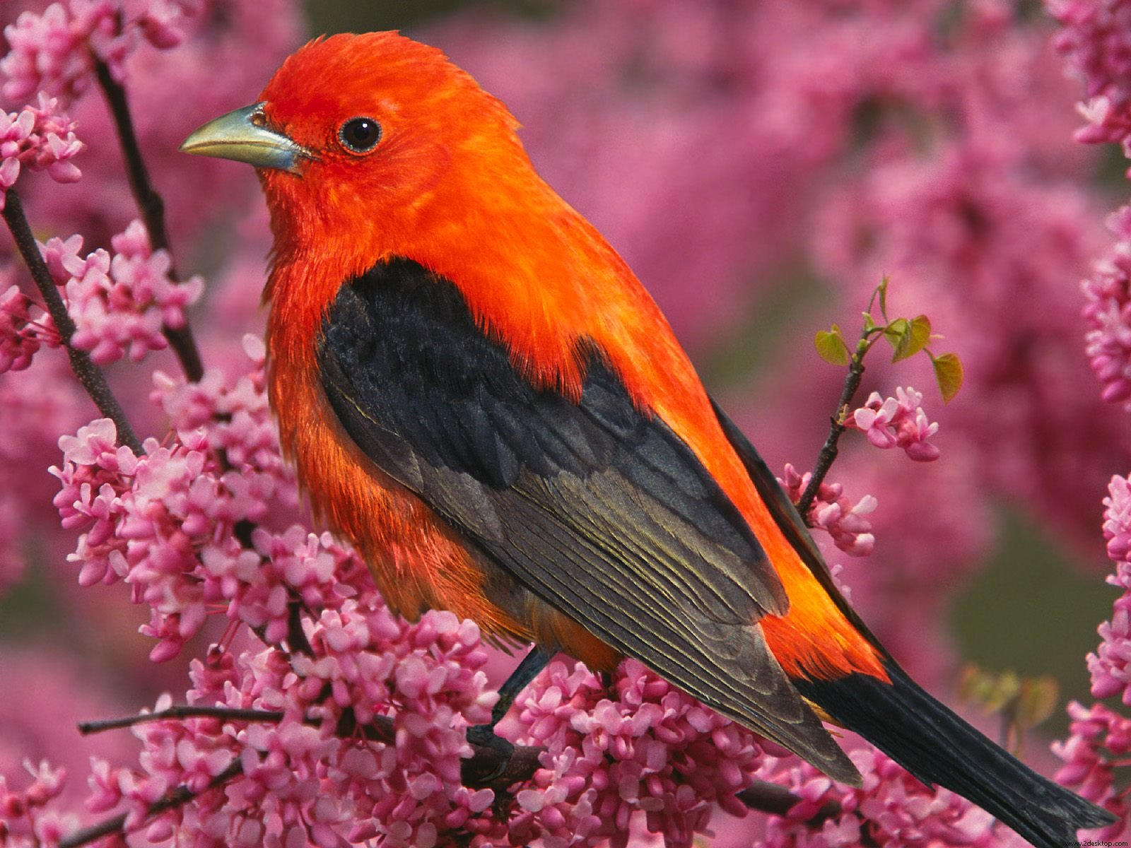 Scarlet Tanager Bird 240.89 Kb