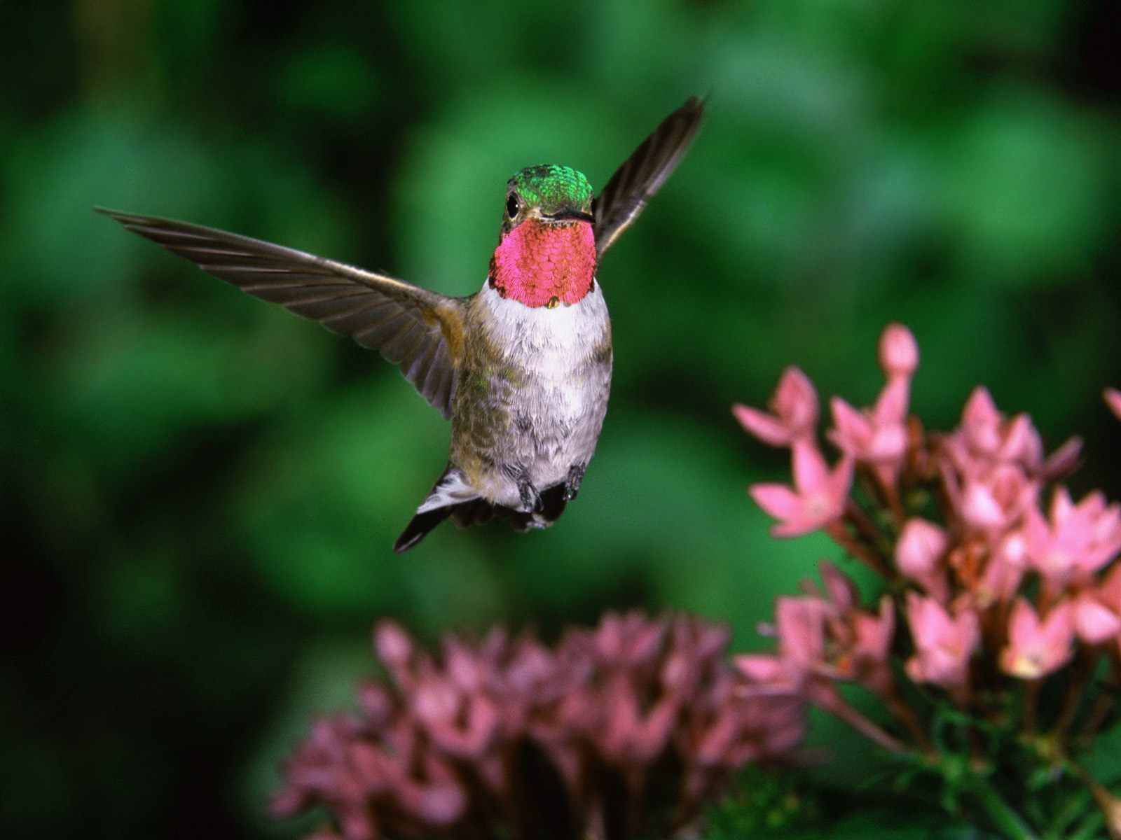 Broadtail Humming Bird