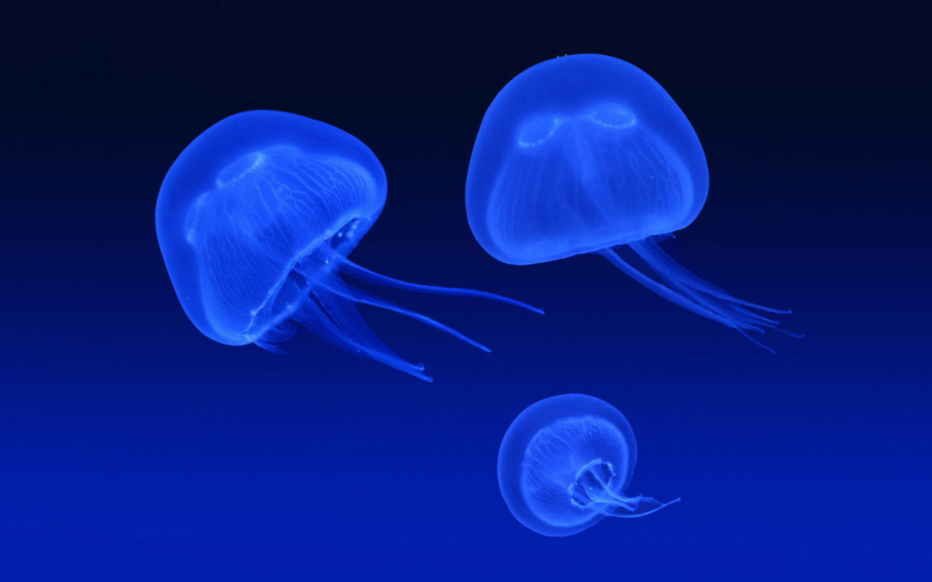 Floating Jellyfish 573.32 Kb