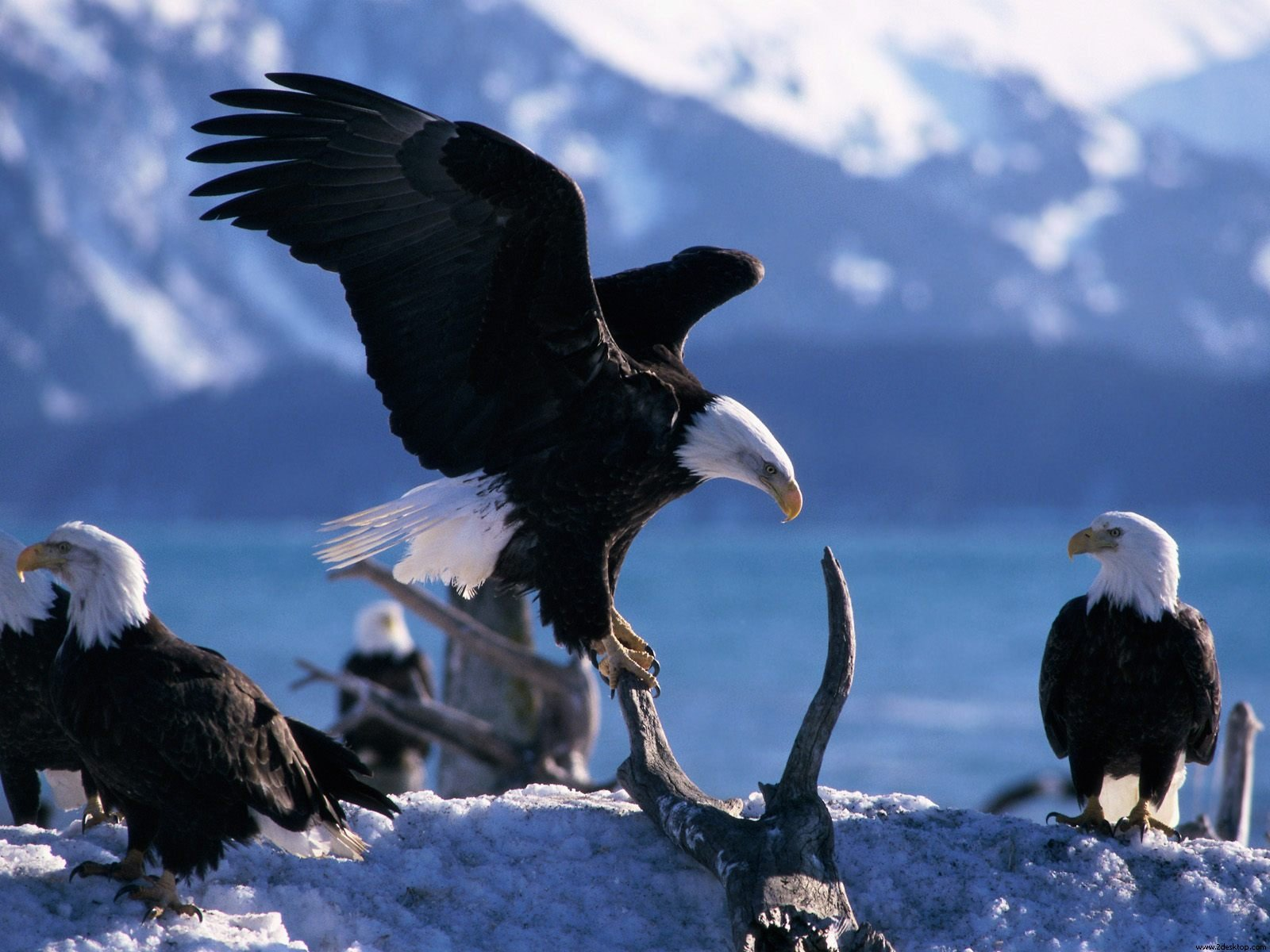 Wings Extended Bald Eagles 774.02 Kb
