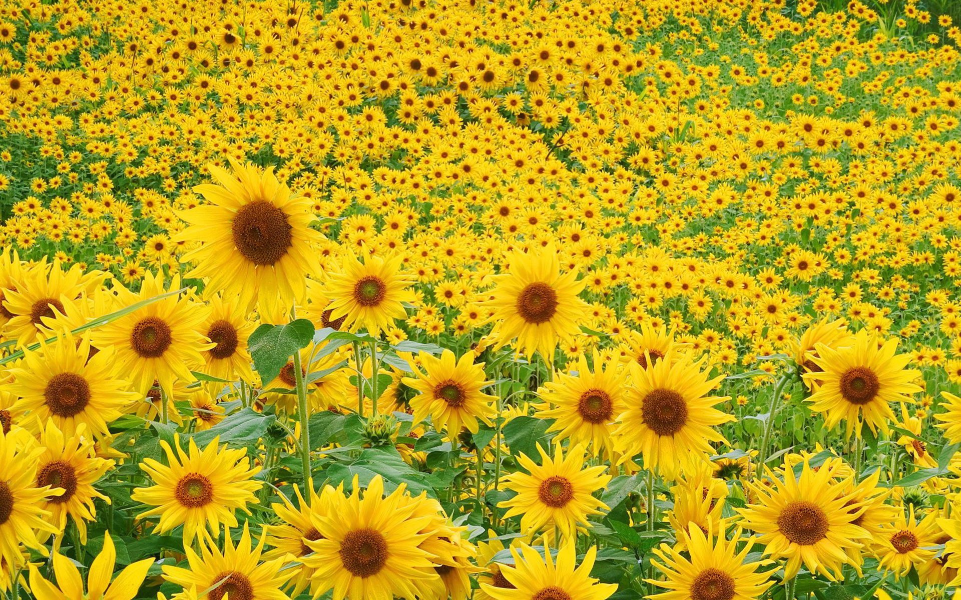 Sunflower Field 443.1 Kb