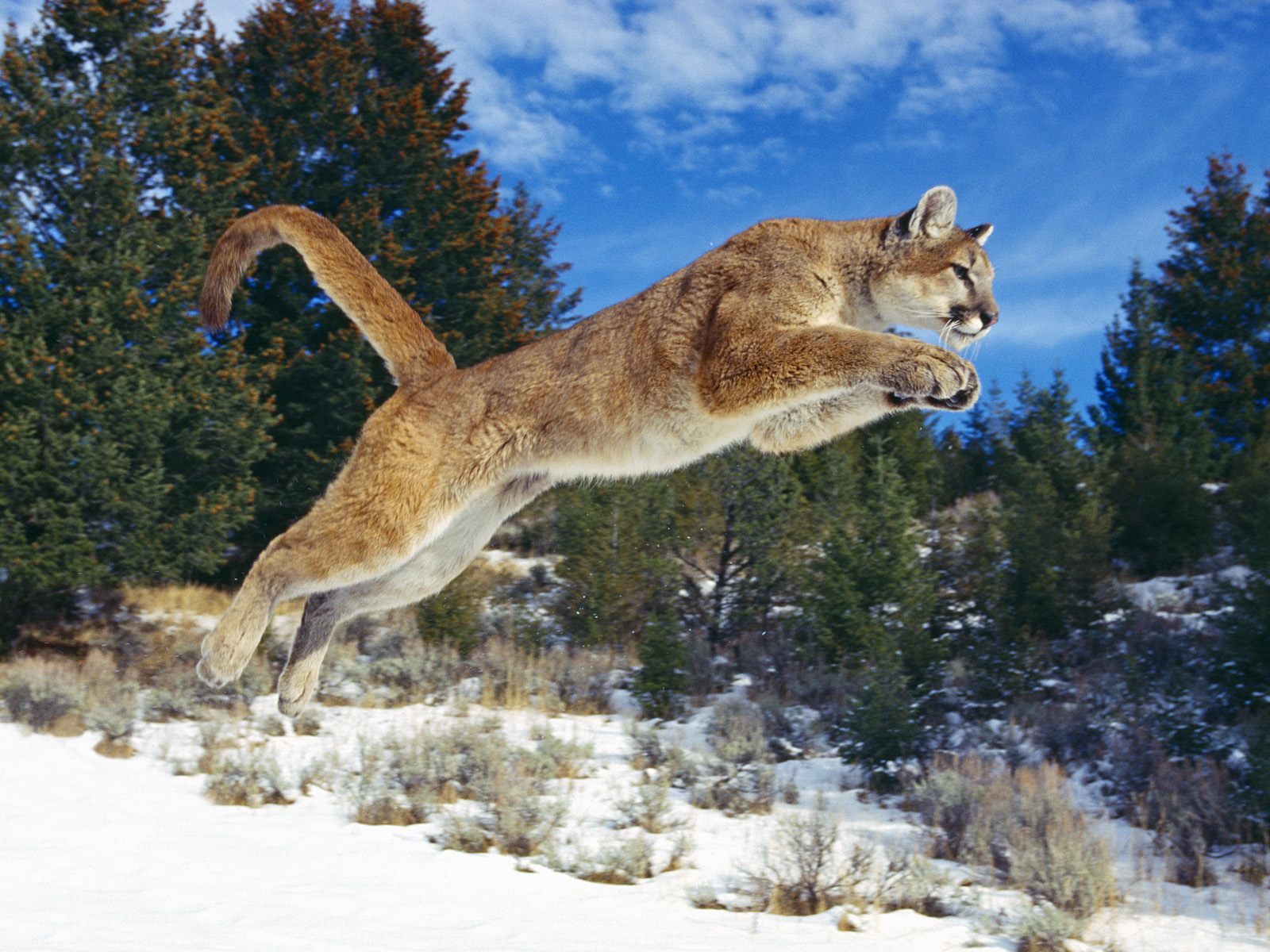 Raw Power, Cougar
