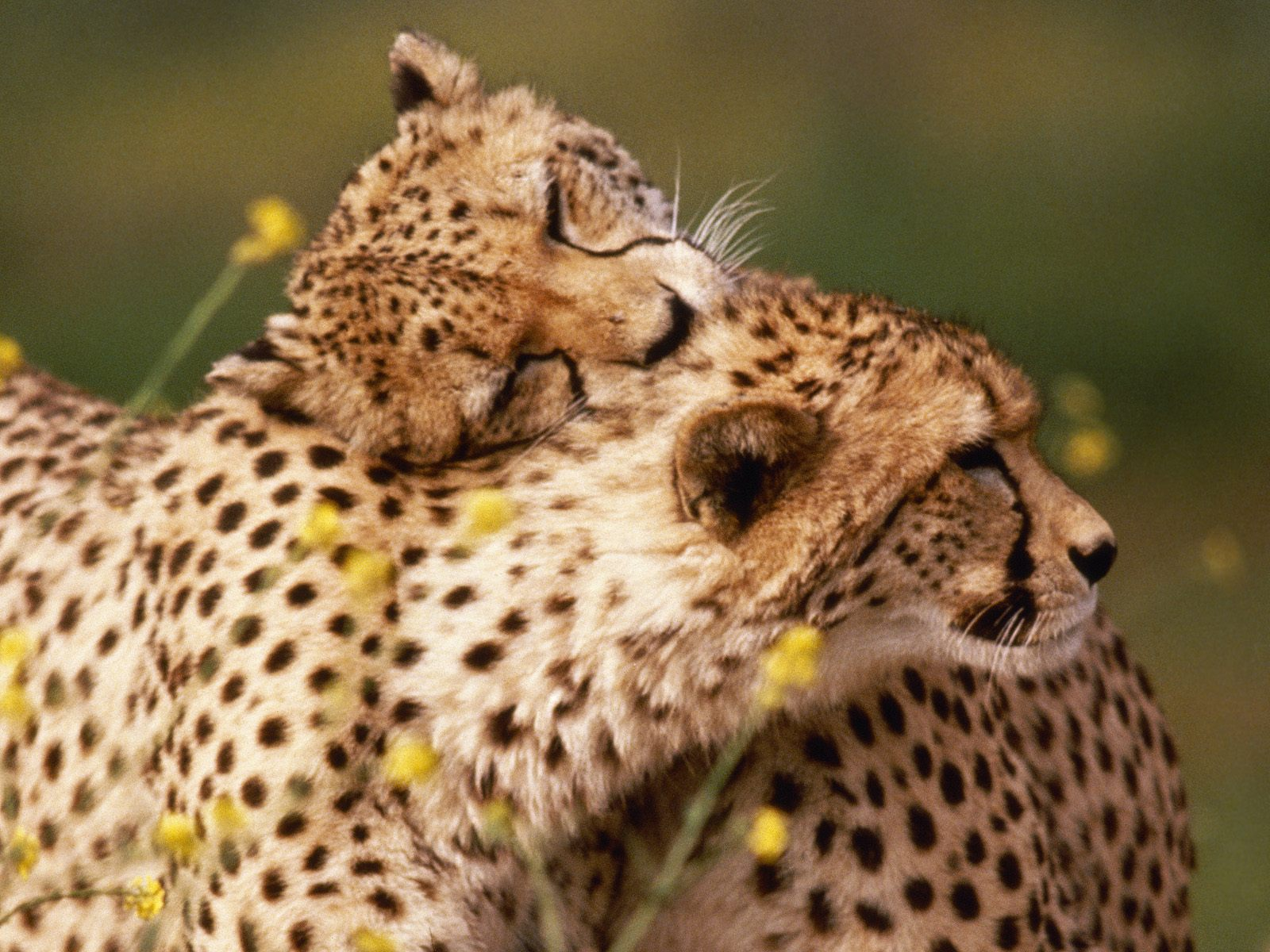 Affectionate Cheetahs