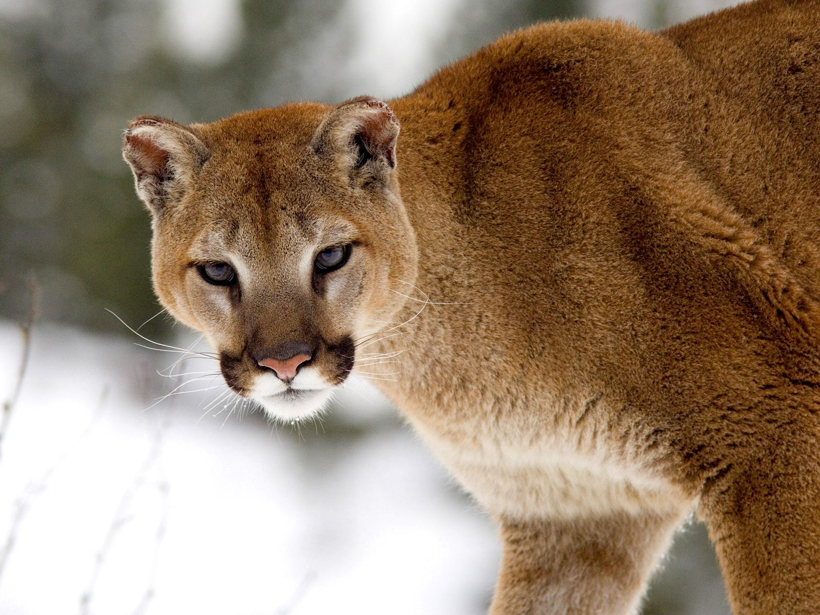 Cougar in Winter, Montana 464.5 Kb