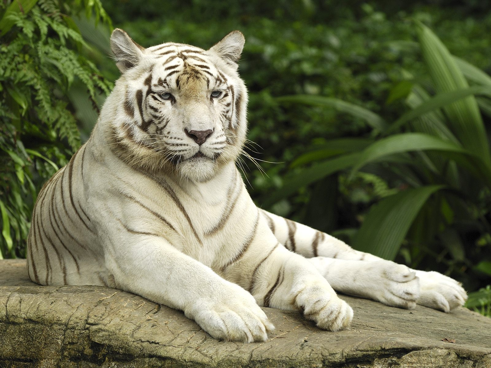 White Tiger, Singapore 367.89 Kb