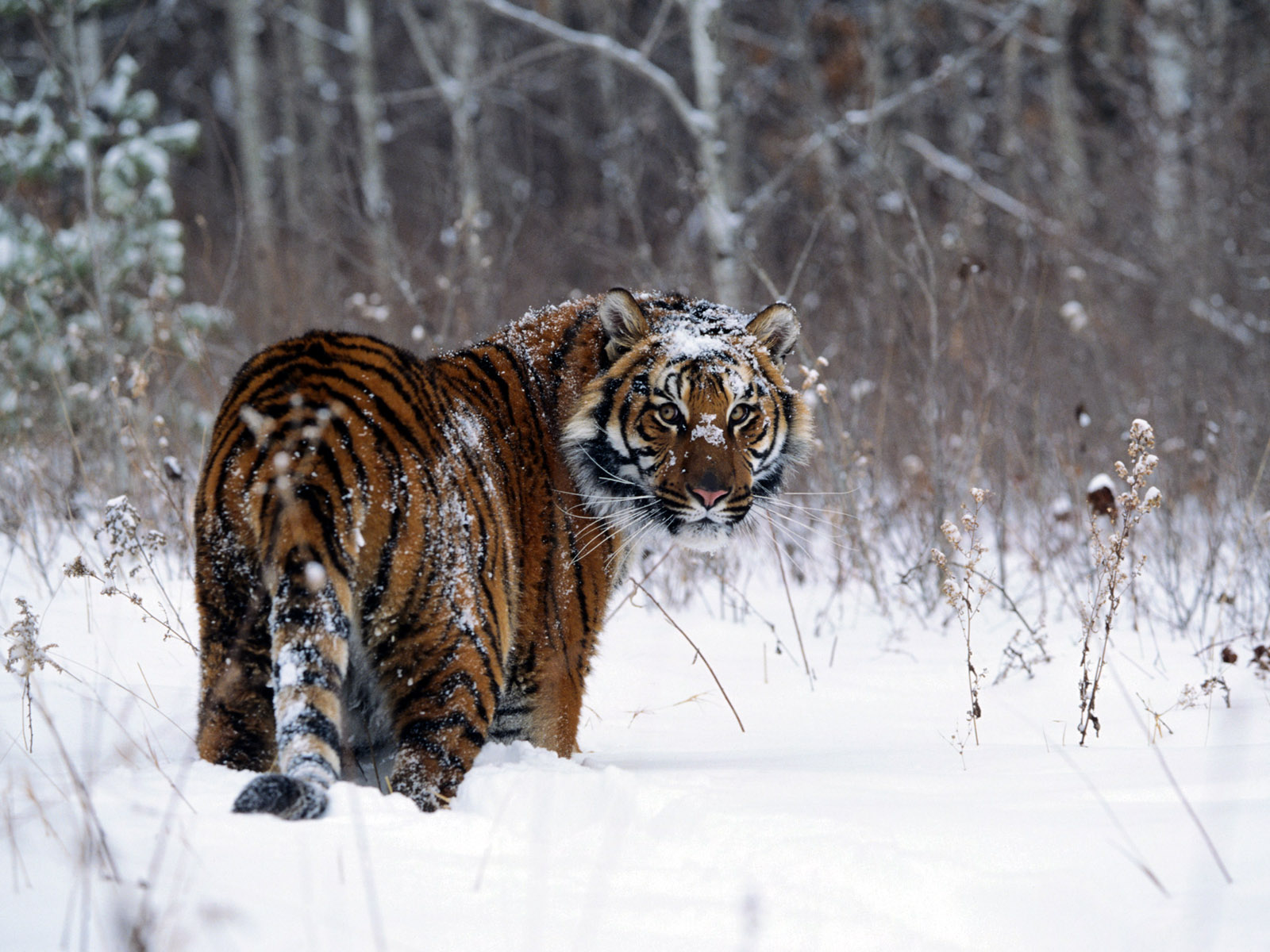 Tiger in Snow 275.36 Kb