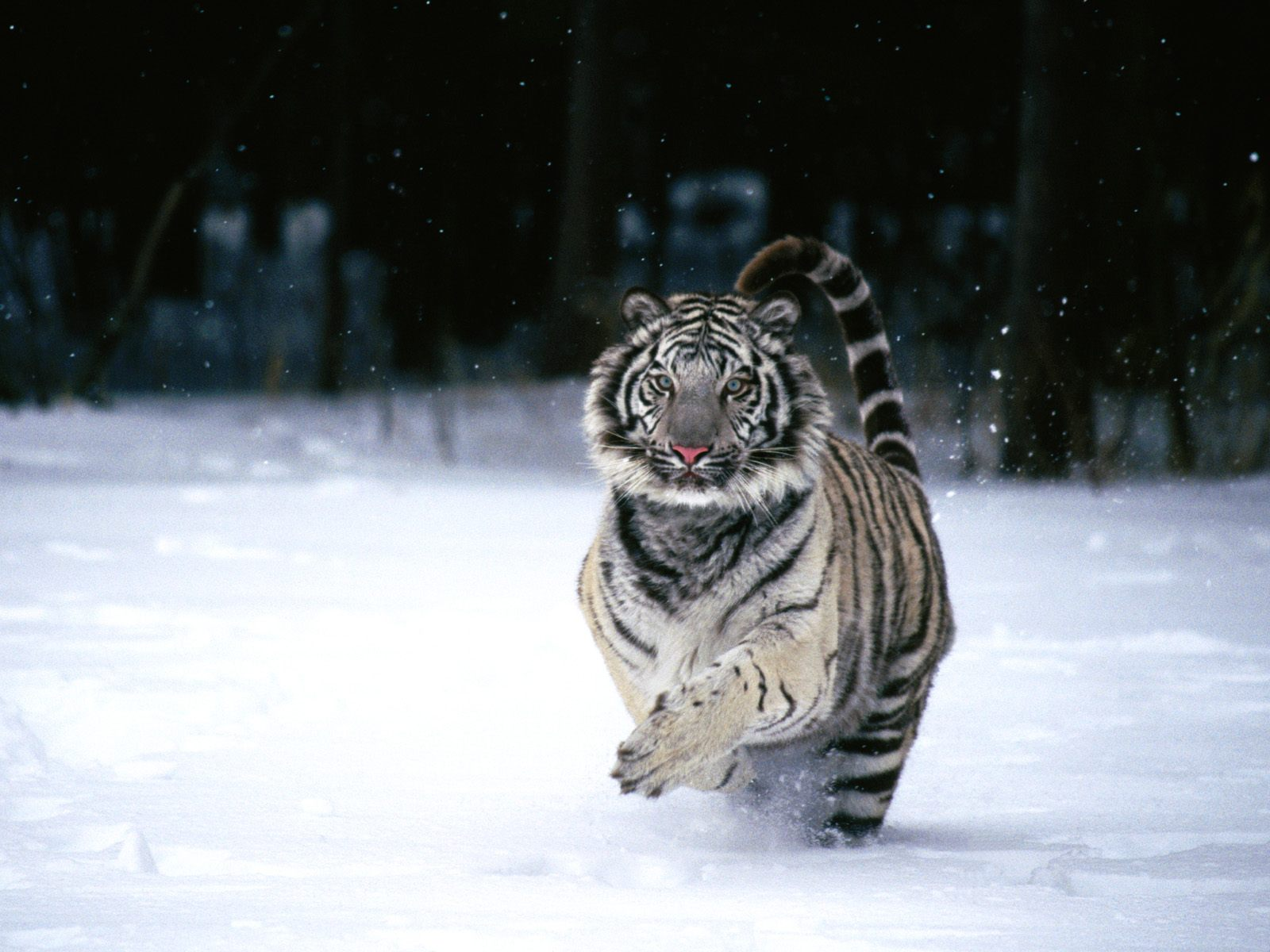 White Tiger 367.89 Kb