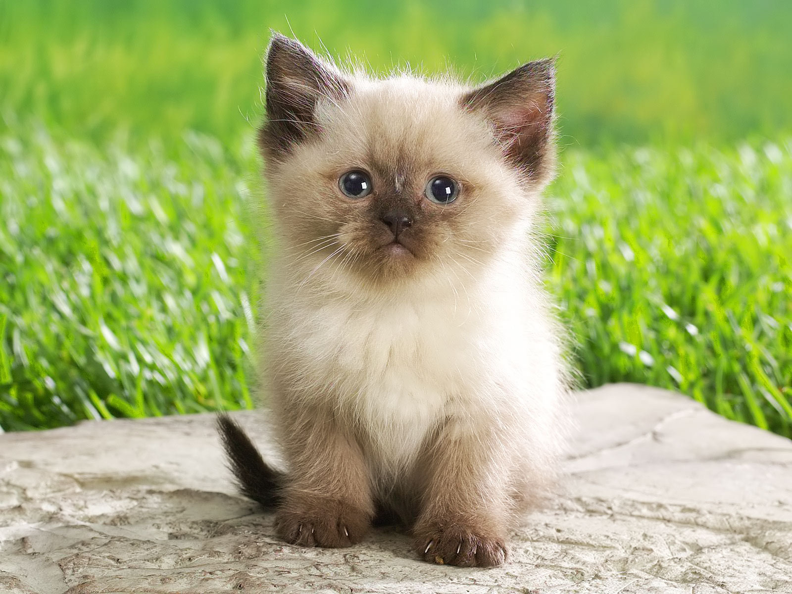 Pictures Of Animals Siamese Kitten