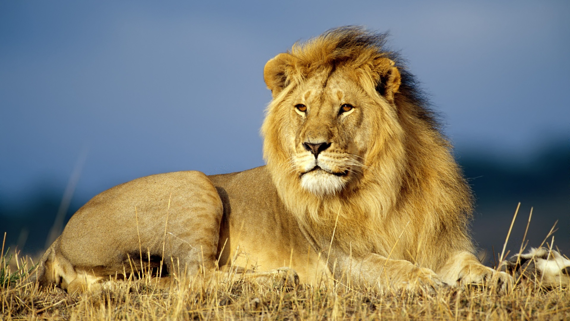 Pictures Of Animals Brave Lion 365.59 Kb
