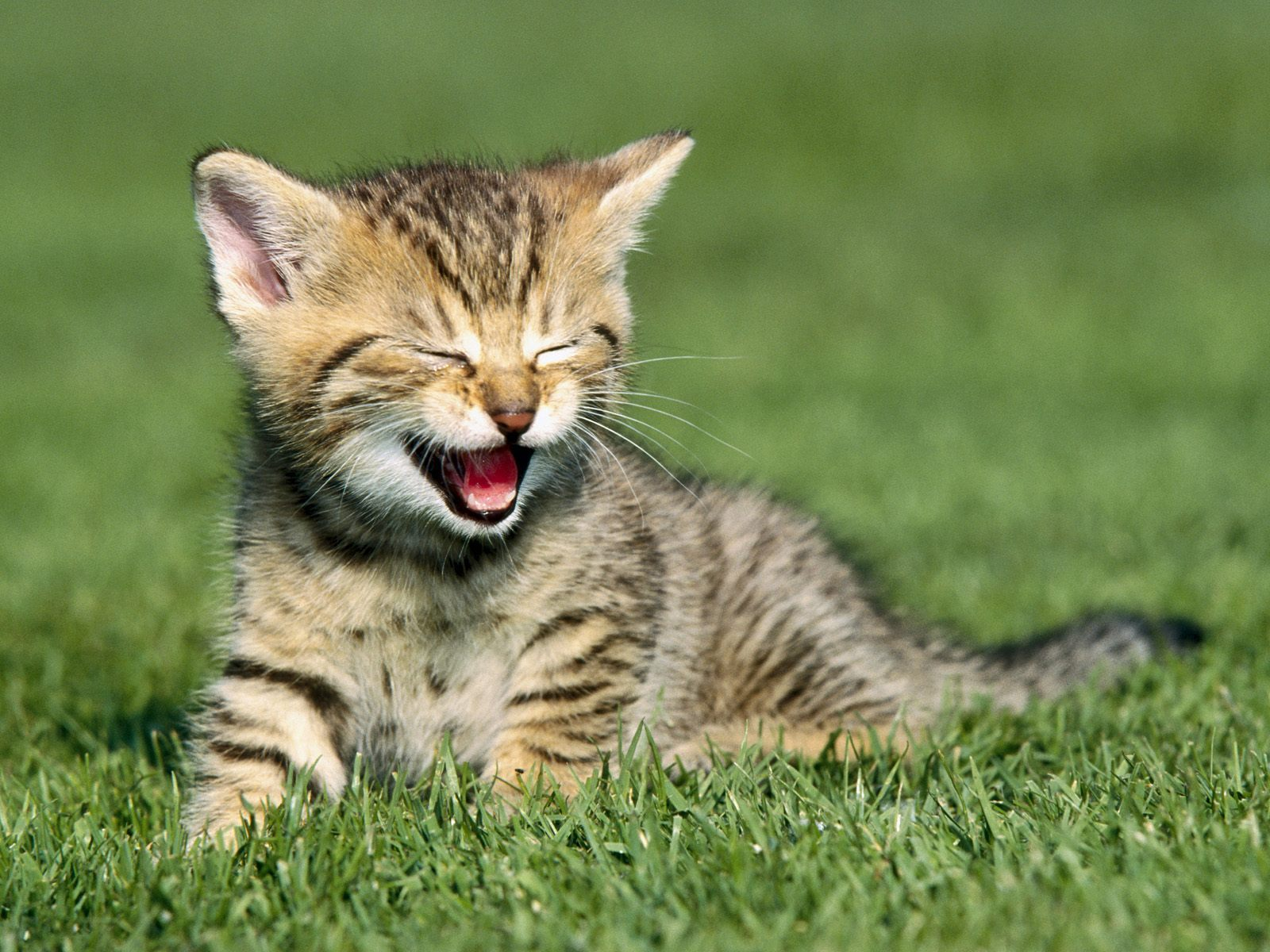 Pictures Of Animals, Happy Kitten on a Lawn 609.16 Kb