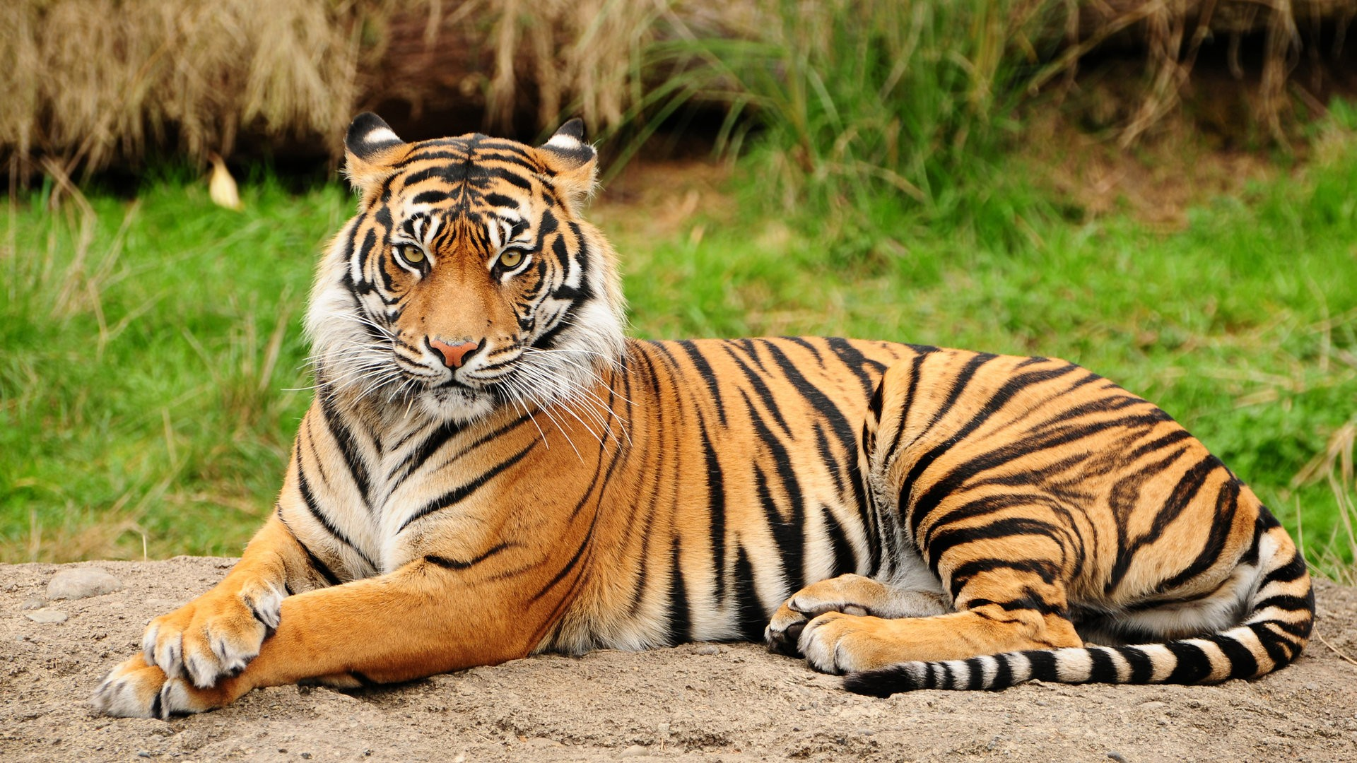 Pictures Of Animals, Tiger Rests