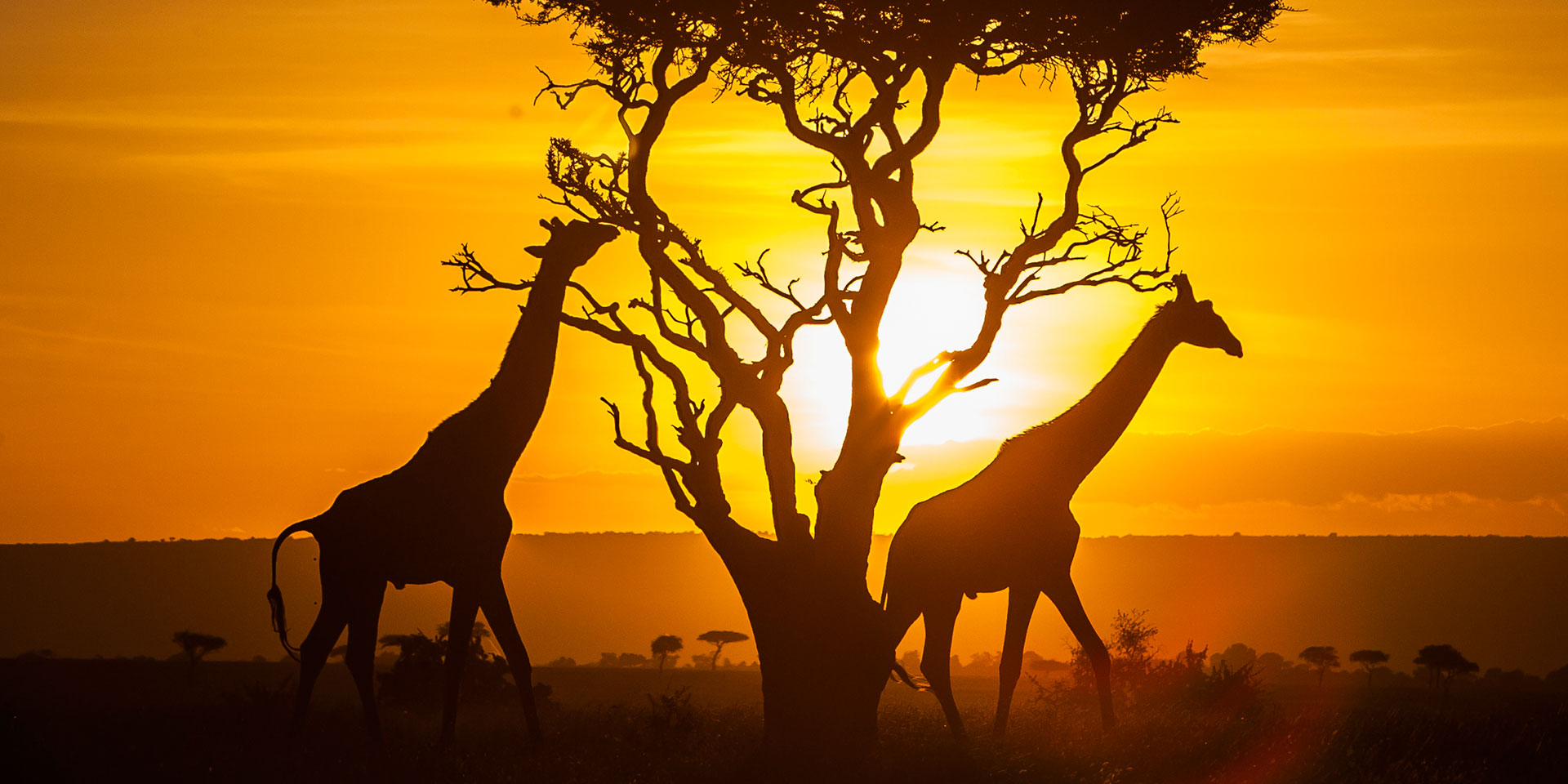 Couple of Giraffes in Sunset in Kenya