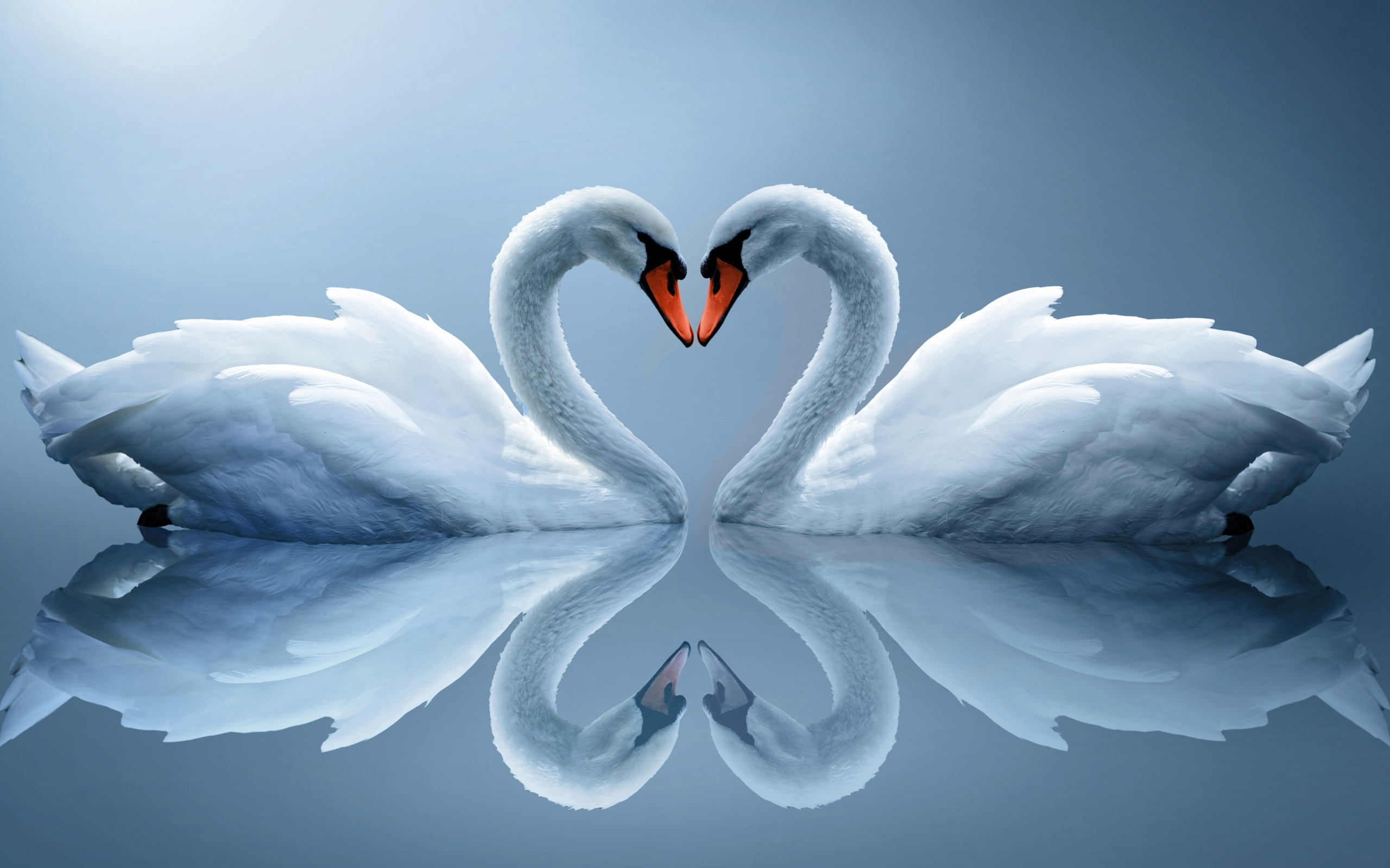 Images Of Love, Couple of Swans 299.86 Kb