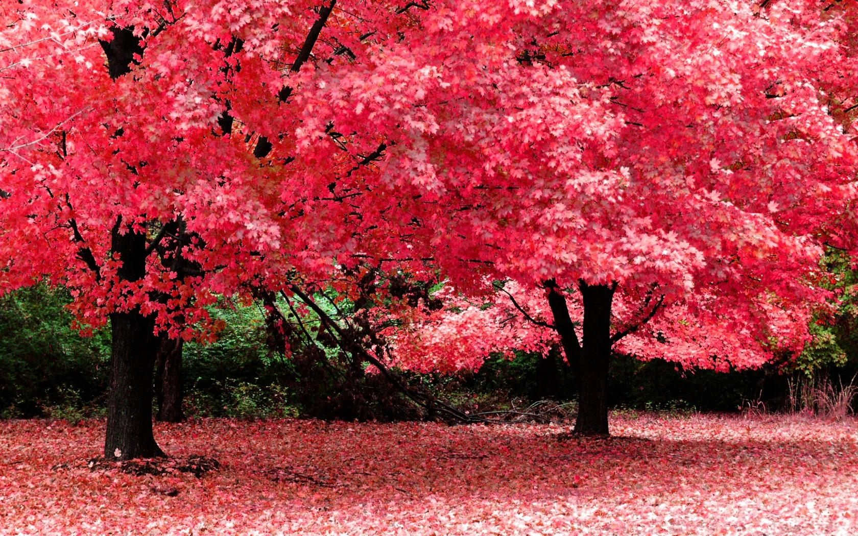 Wallpaper Nature, Red and Pink Trees 369.81 Kb
