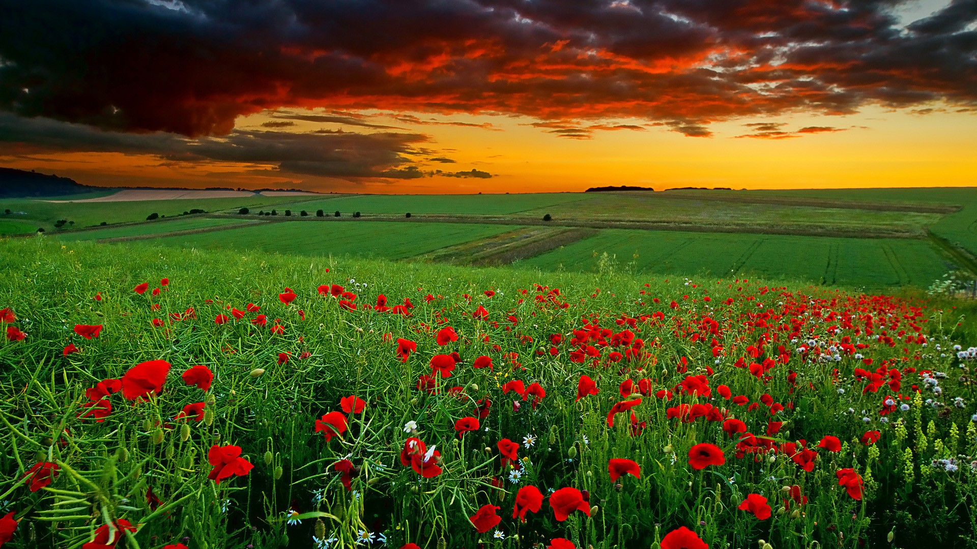 Wallpaper Nature, Red Poppy Valley