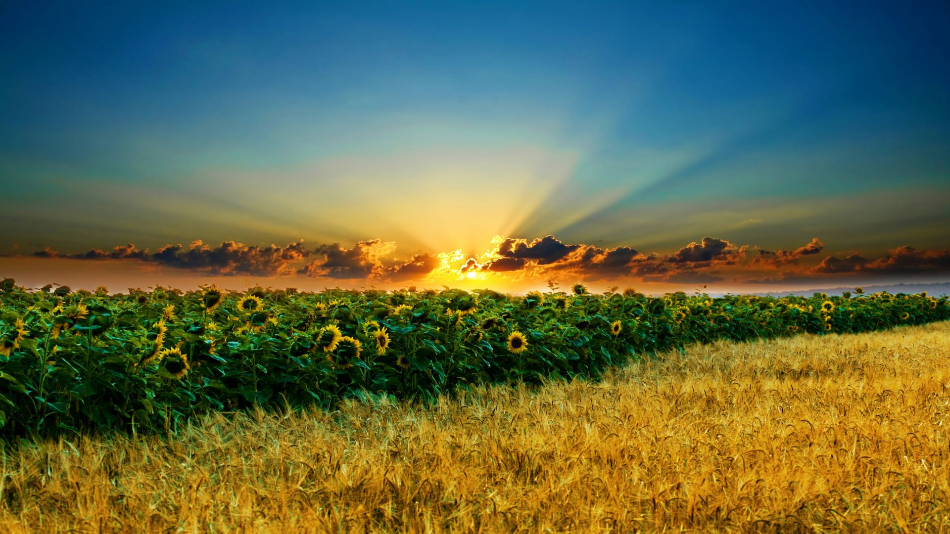 Sunshine Over The Sunflower Field Desktop Wallpaper