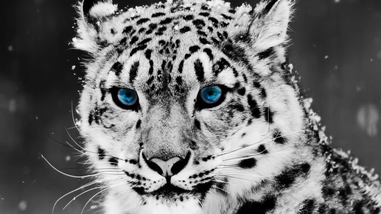 Cool Wallpapers, Blue-eyed Snow Leopard
