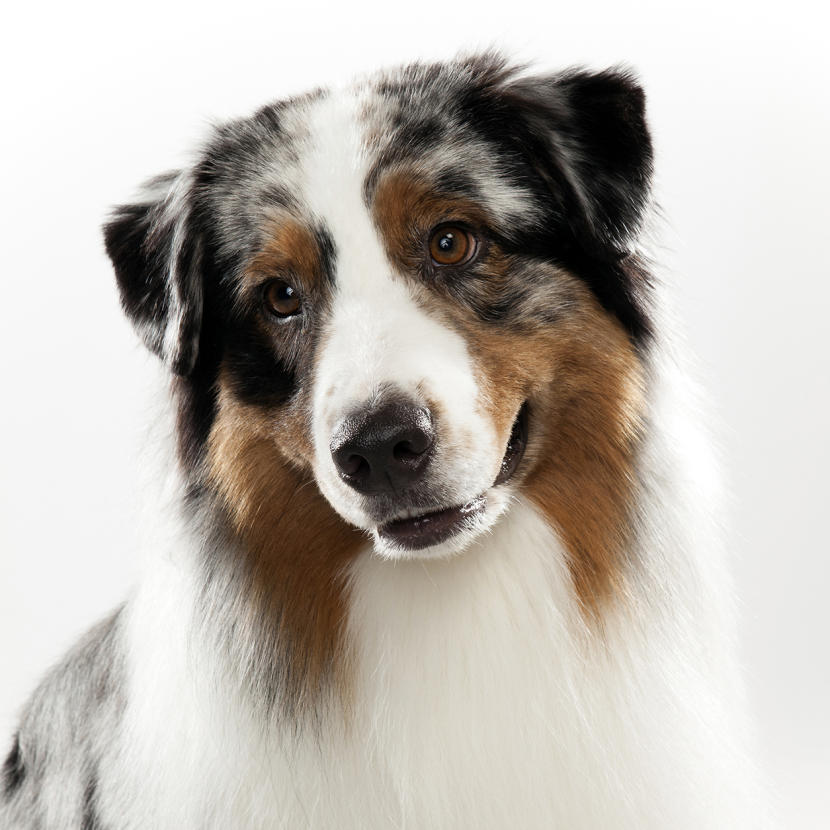 Pictures Of Dogs, Well Groomed Beauty 208.6 Kb