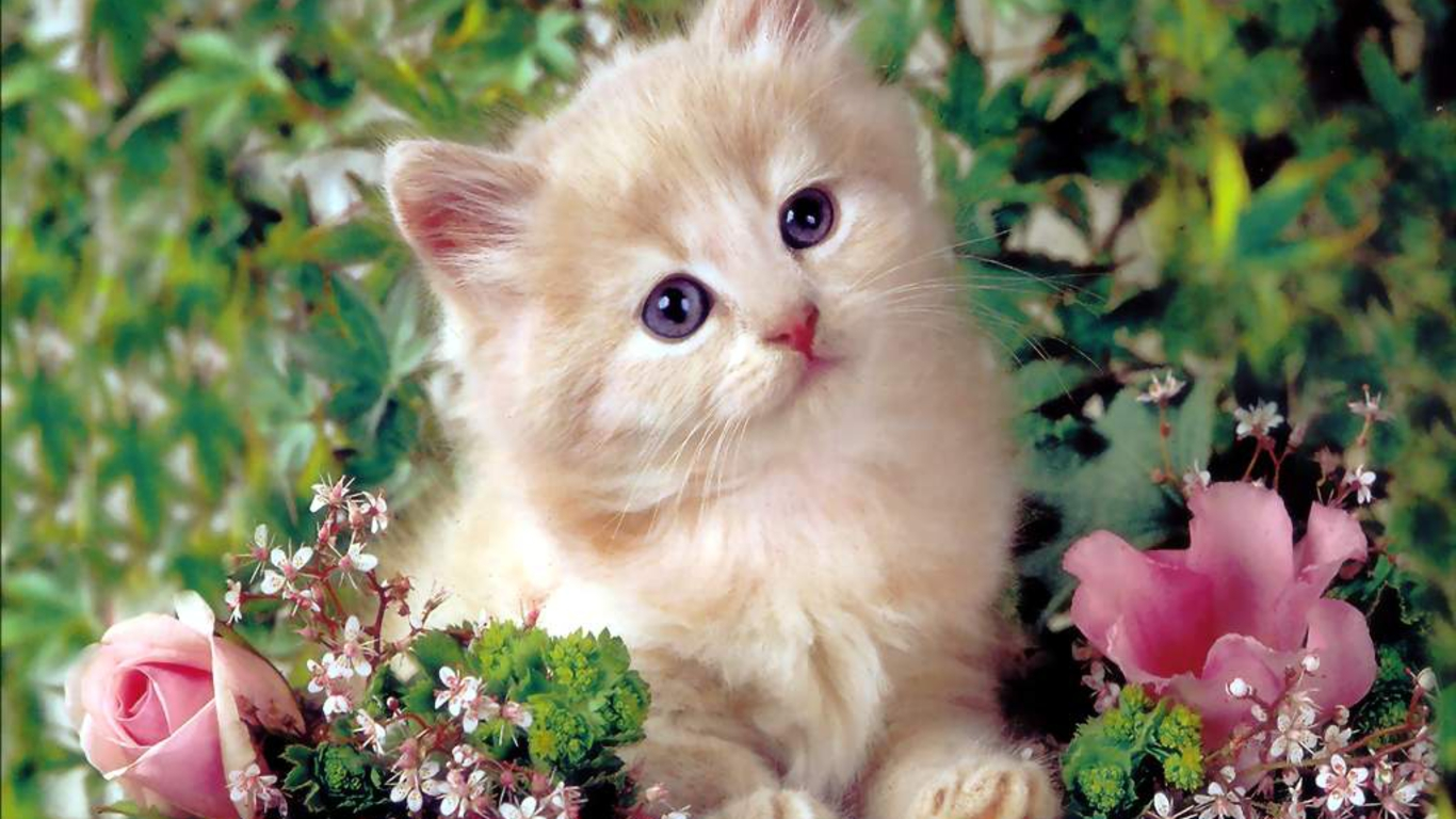 Wallpapers Download Cute Kitten