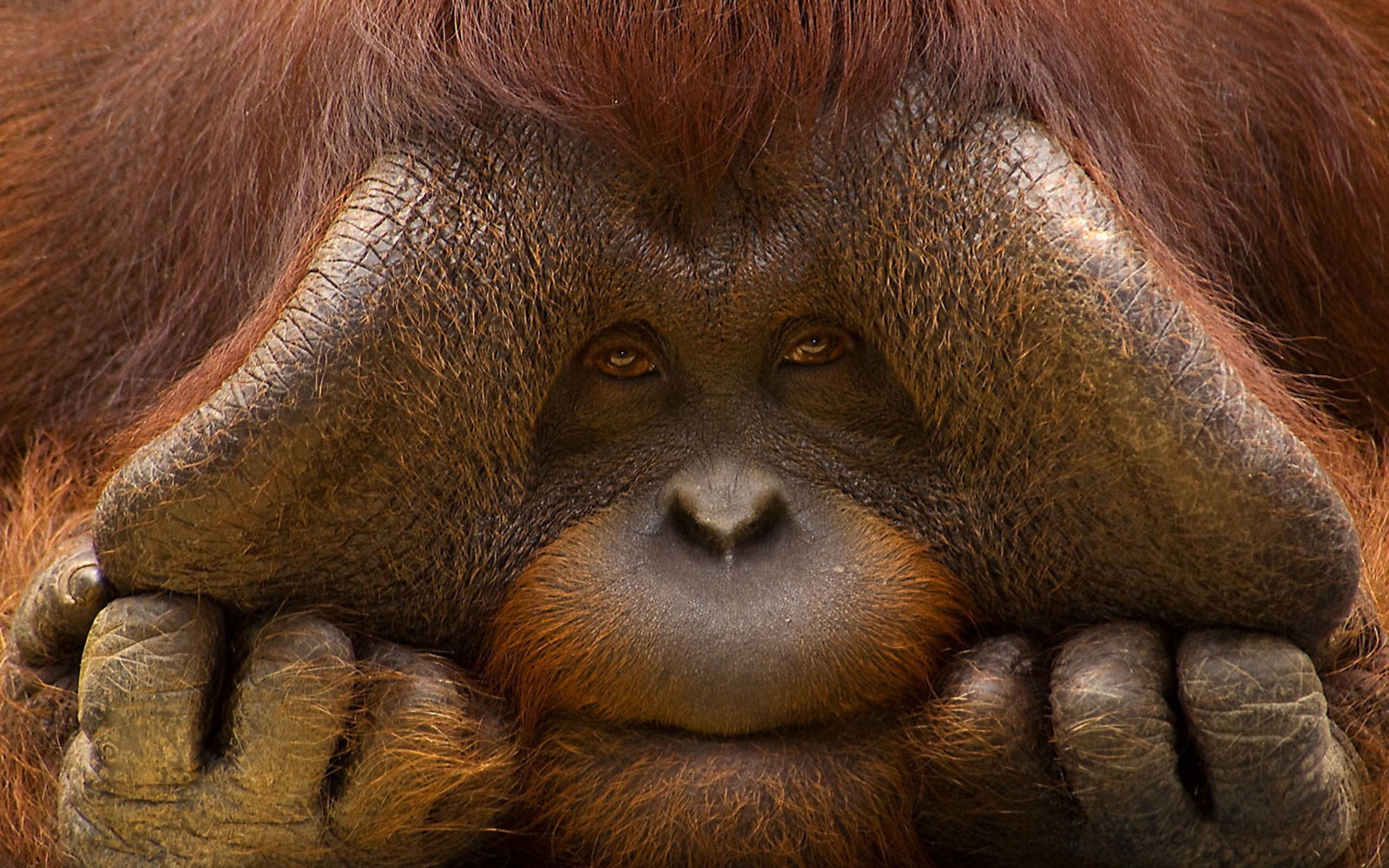 Images of Bornean Orangutan 192.99 Kb