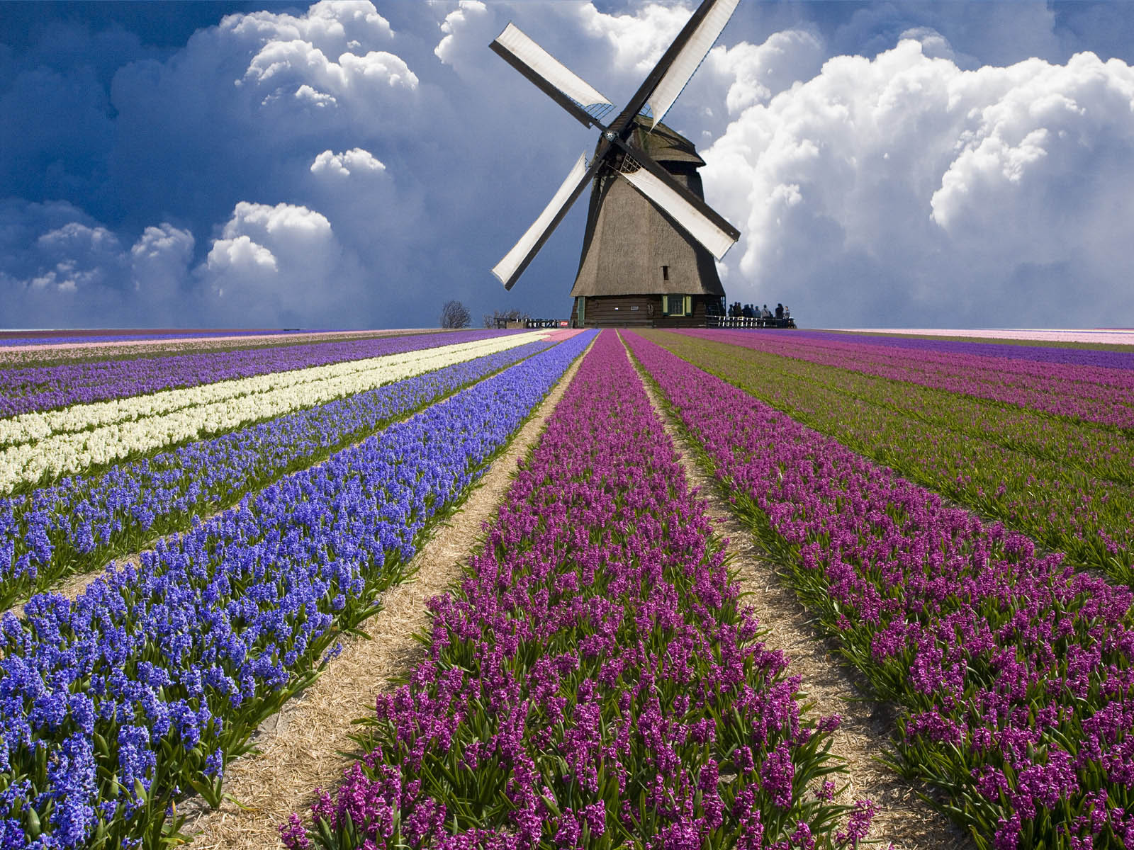 Windmill on a Flower Field in the Netherlands 1573.88 Kb