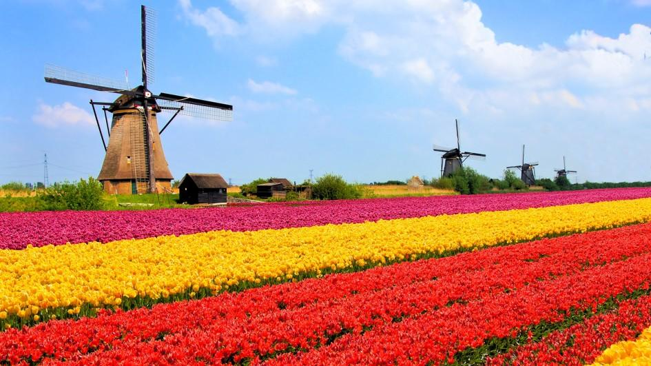 Colorful Flower Fields in Netherlands 1573.88 Kb