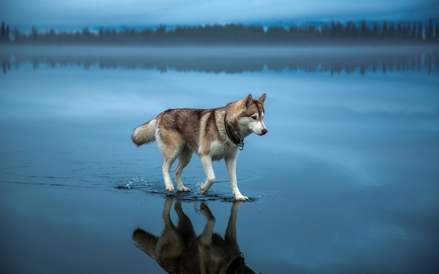 Pictures of a Wolf Walking on Water