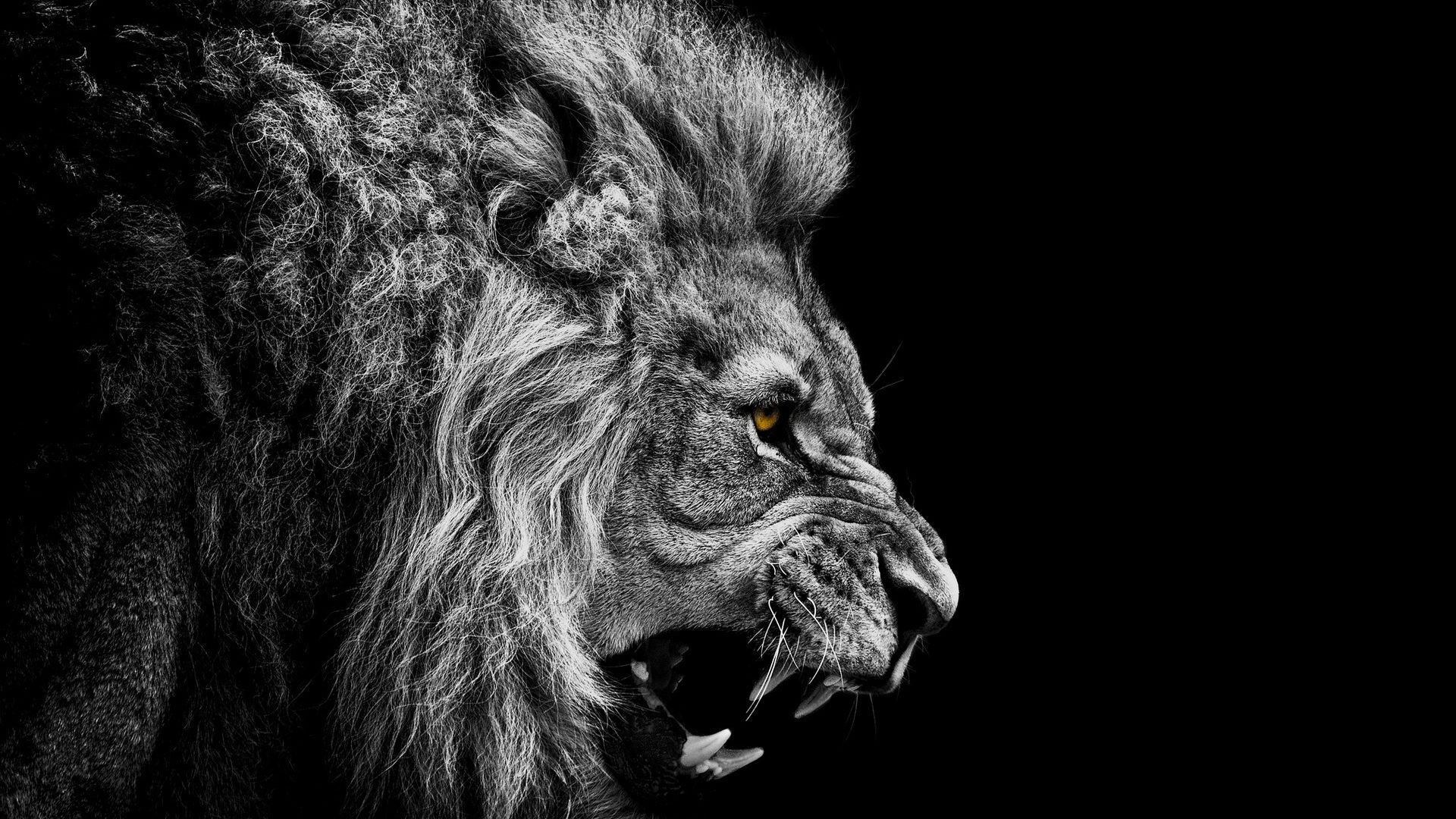 Furious Lion Wallpaper HD 1023.1 Kb
