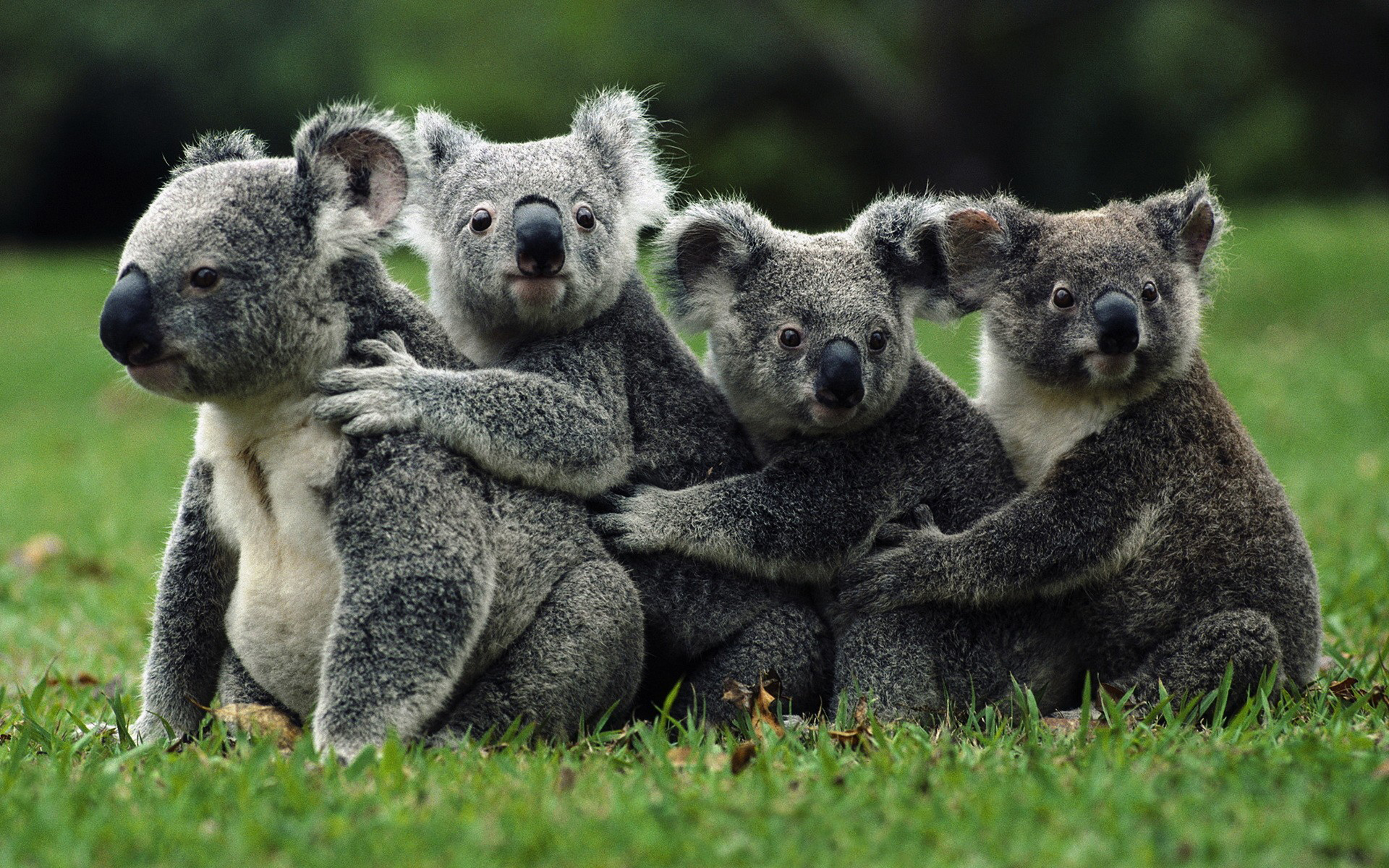 Group of Koala Sitting in a Row