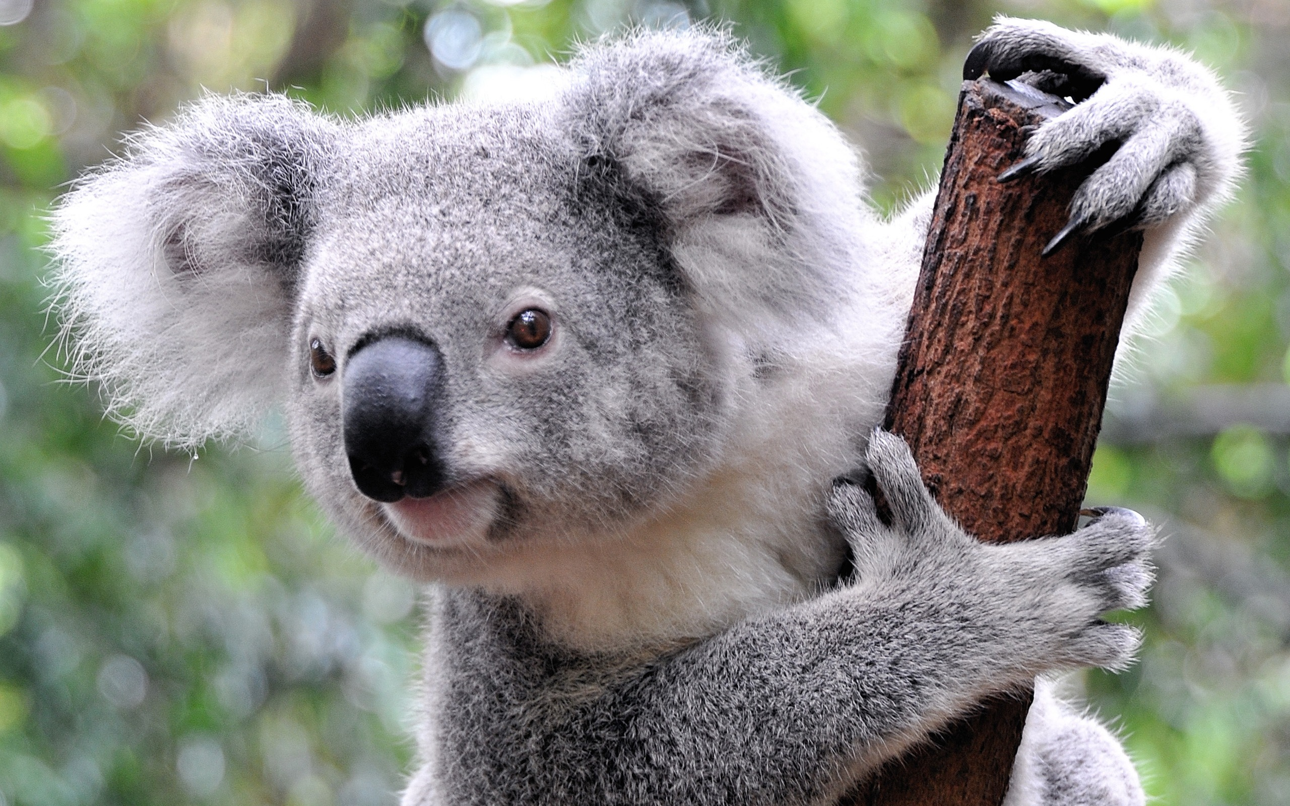 Koala Holding to the Branch