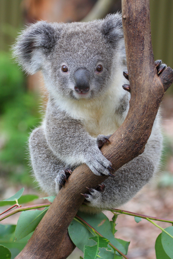 Koala Sitting on a Branch