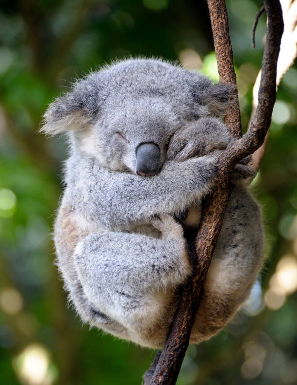 Koala Sleeps on a Branch