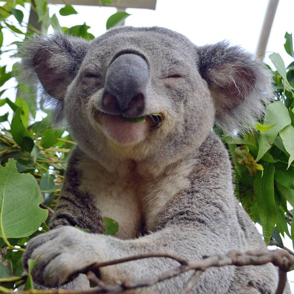 Koala Happy Face