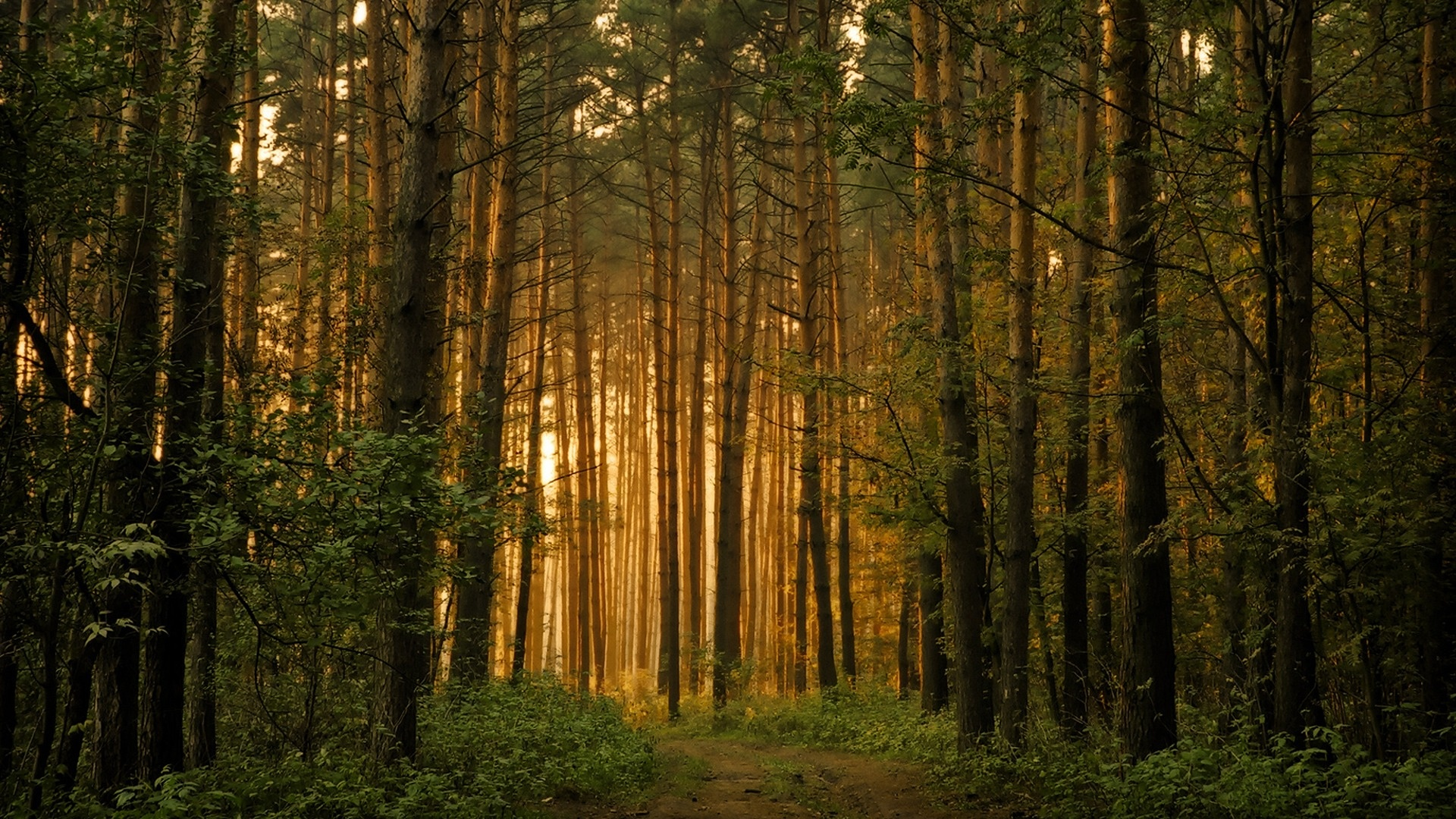 Pinetree Forest at Dawn