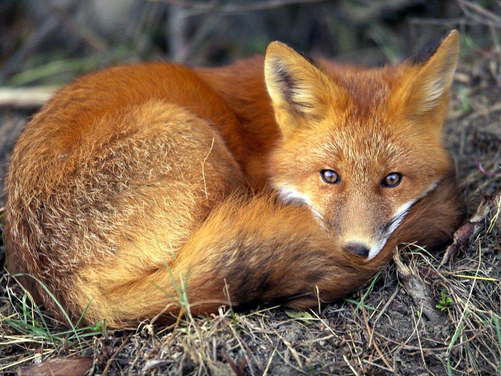 Fox Sleeping on the Ground
