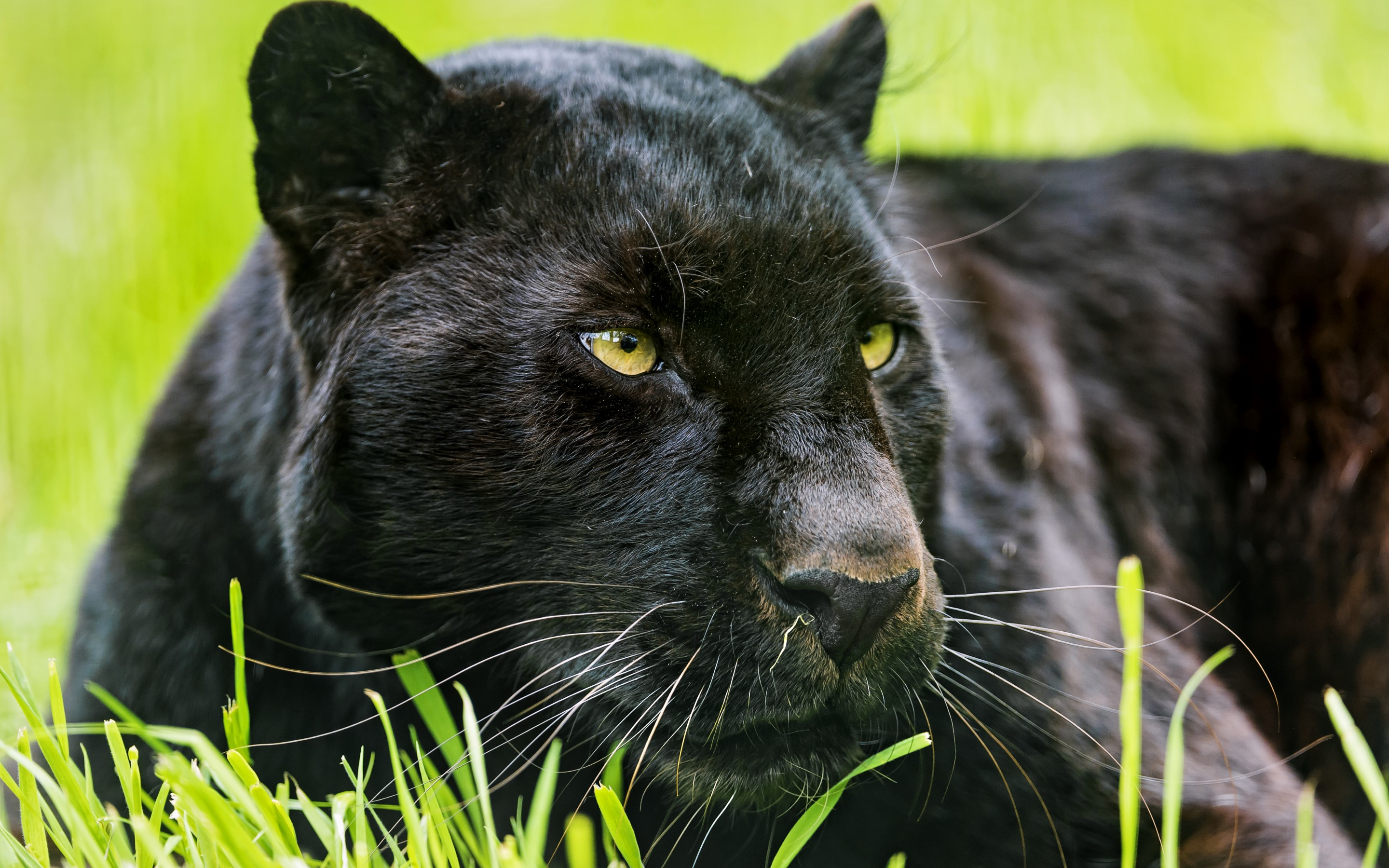 Panther Rests in the Grass 285.38 Kb