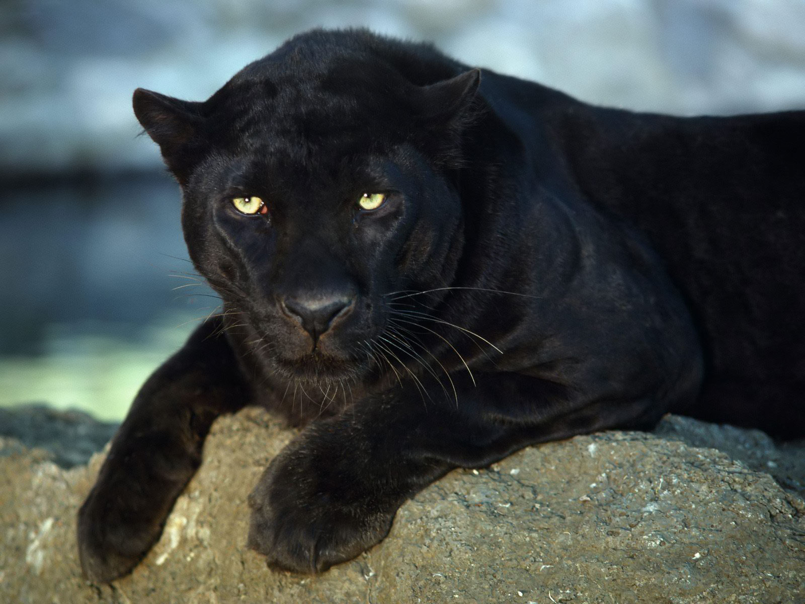Panther Lying on the Rock