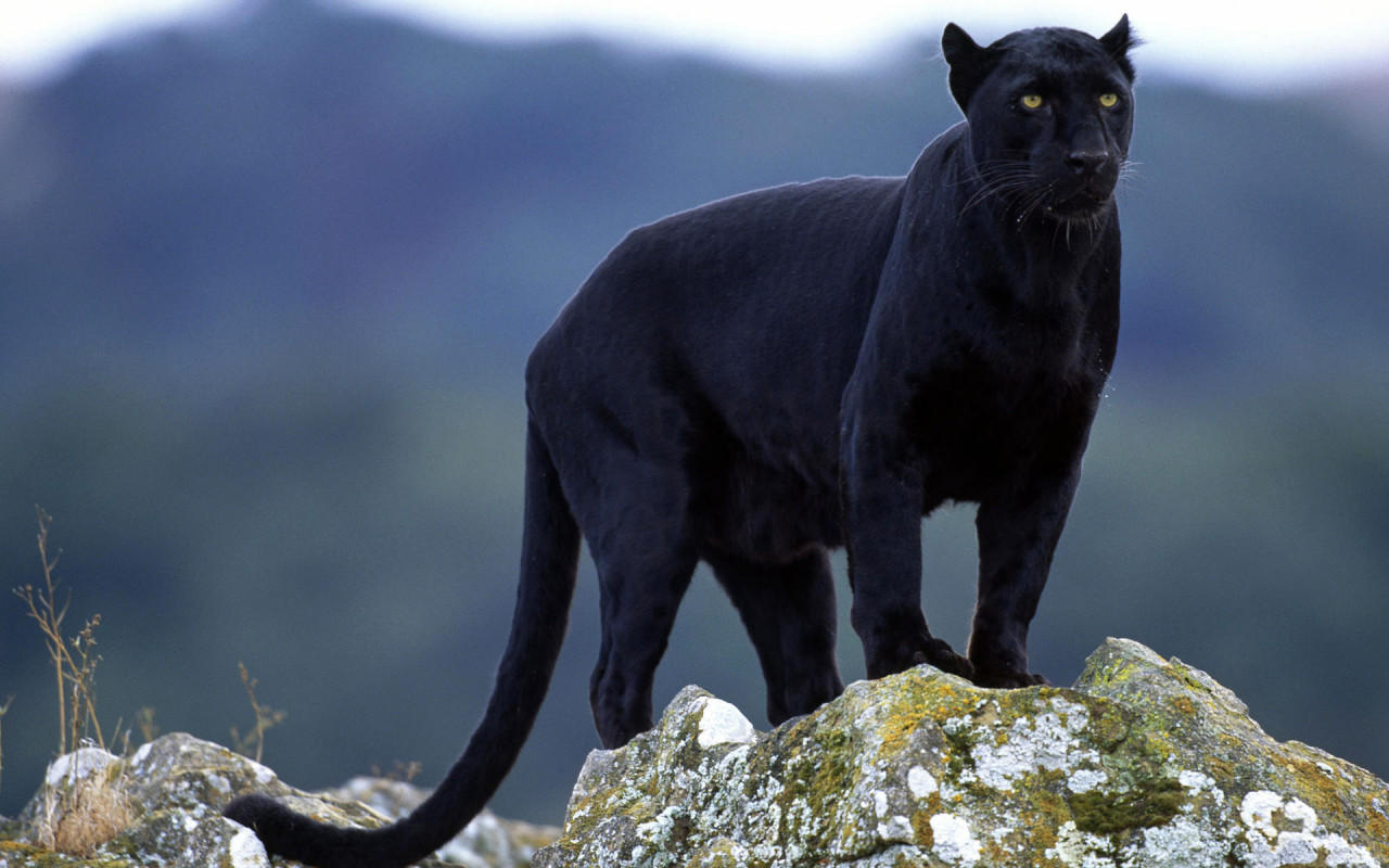 Adult Panther on a Cliff 285.38 Kb
