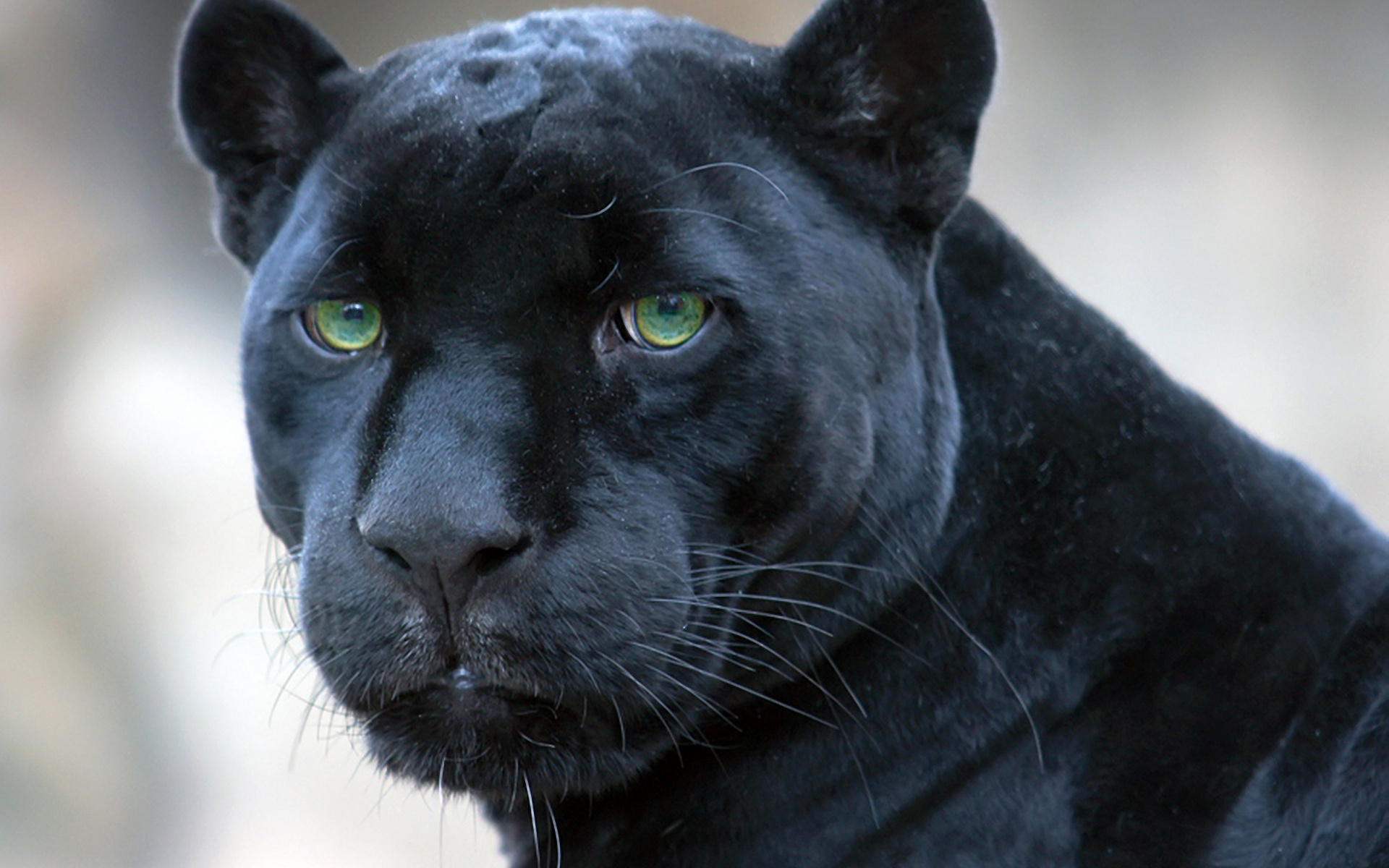 Panther Face Look 285.38 Kb