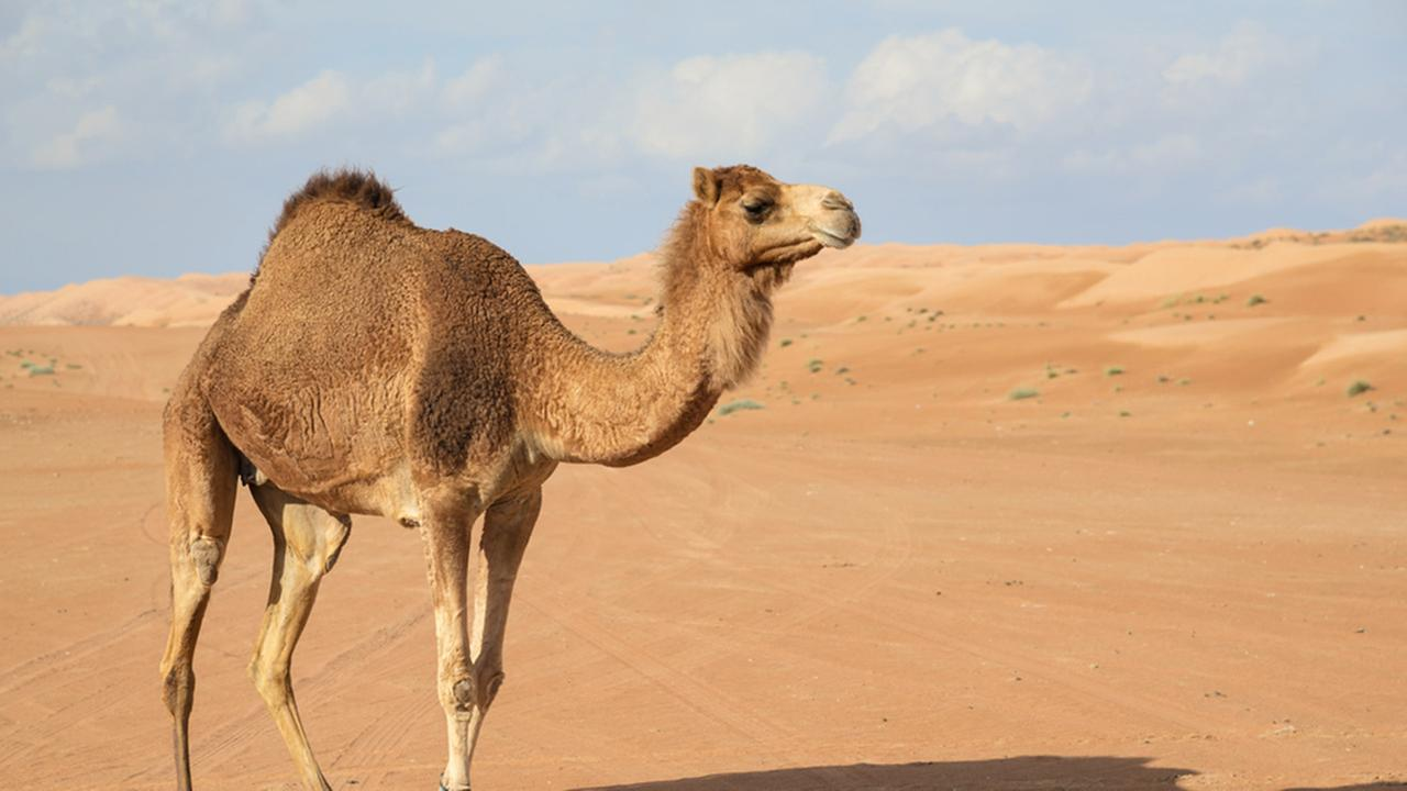 A Camel in a Hot Desert