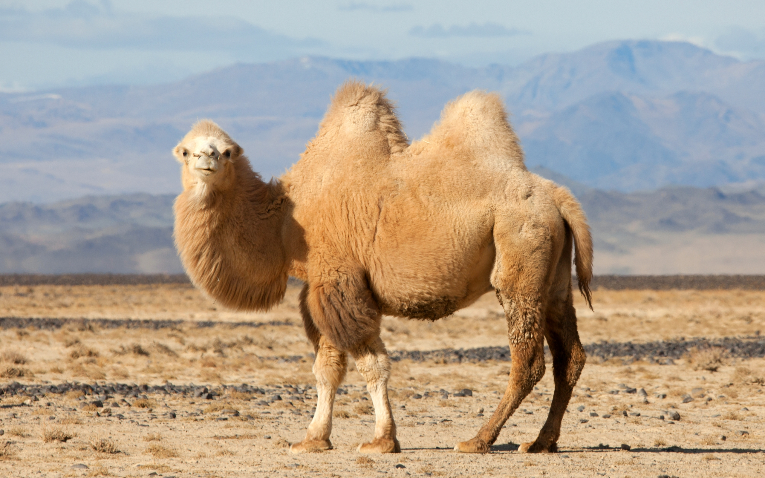 Bactrian Camel in the Wild Nature