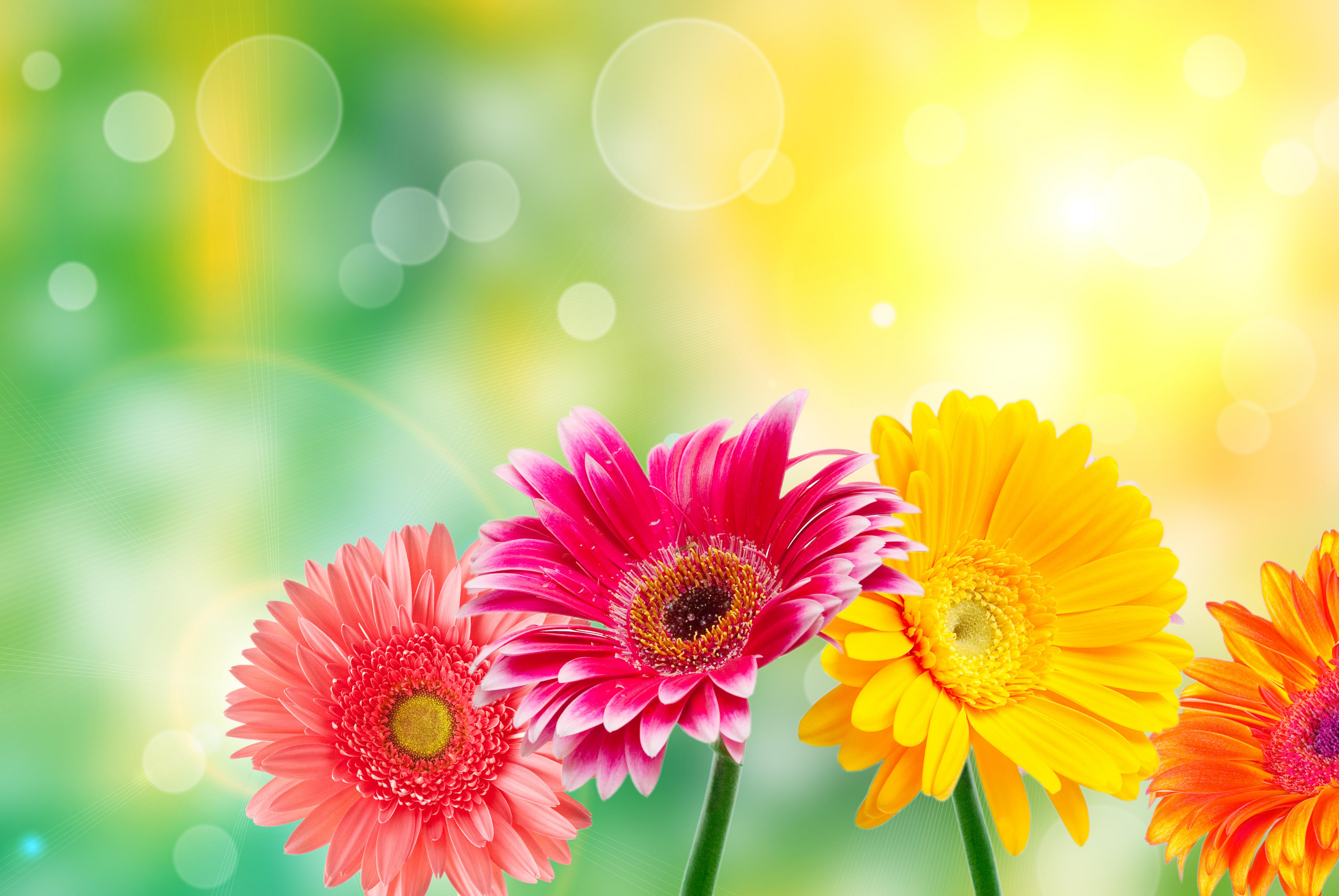 Gerbera Flowers on Blur Background  125.04 Kb